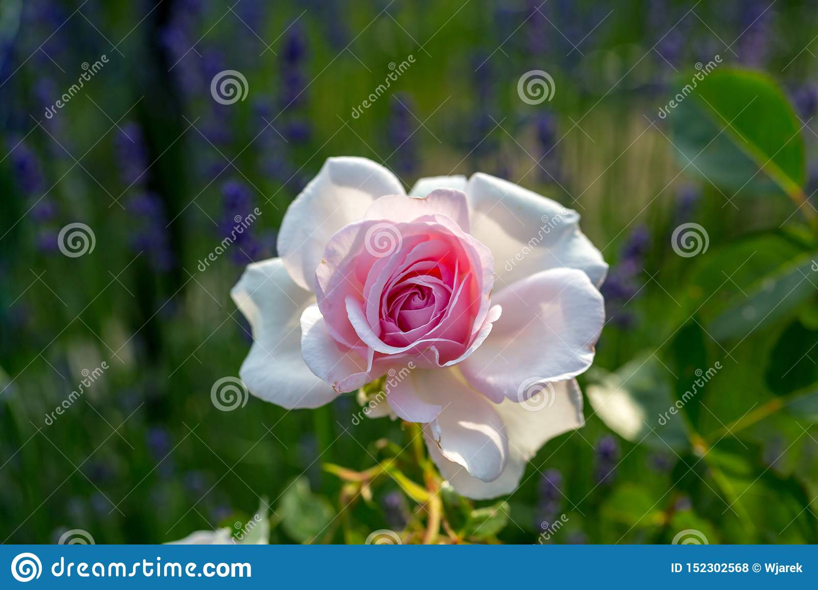 Pink and white rose flower on the branch in the garden.