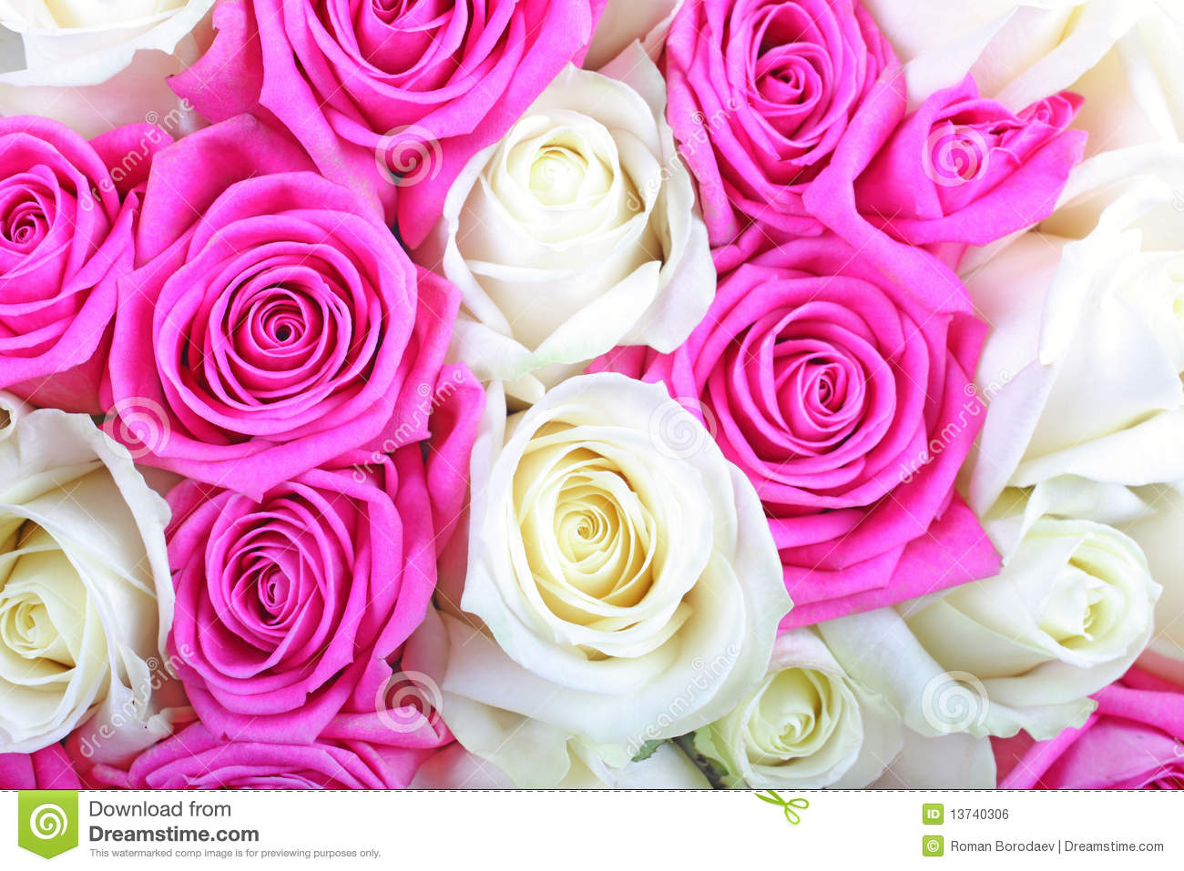 Pink And White Roses Stock Photo Image Of Freshness 13740306