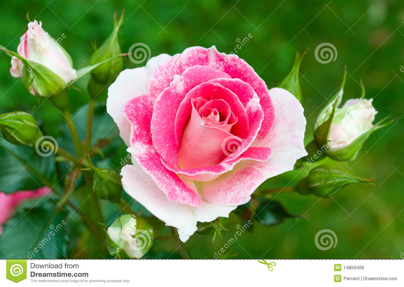 Pink-white roses on green grass background