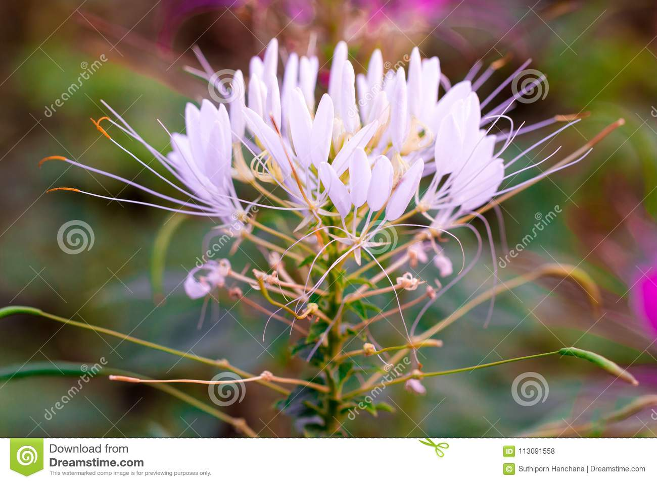 Pink And White Spider Flower Cleome Hassleriana Isolate Stock Photo