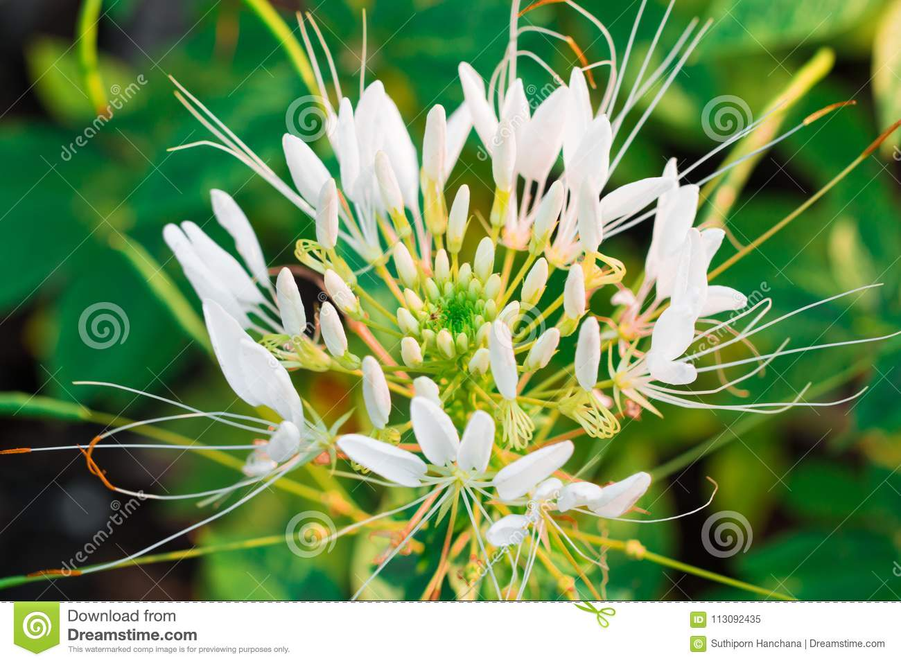 Pink And White Spider Flower Cleome Hassleriana Isolate Stock Image