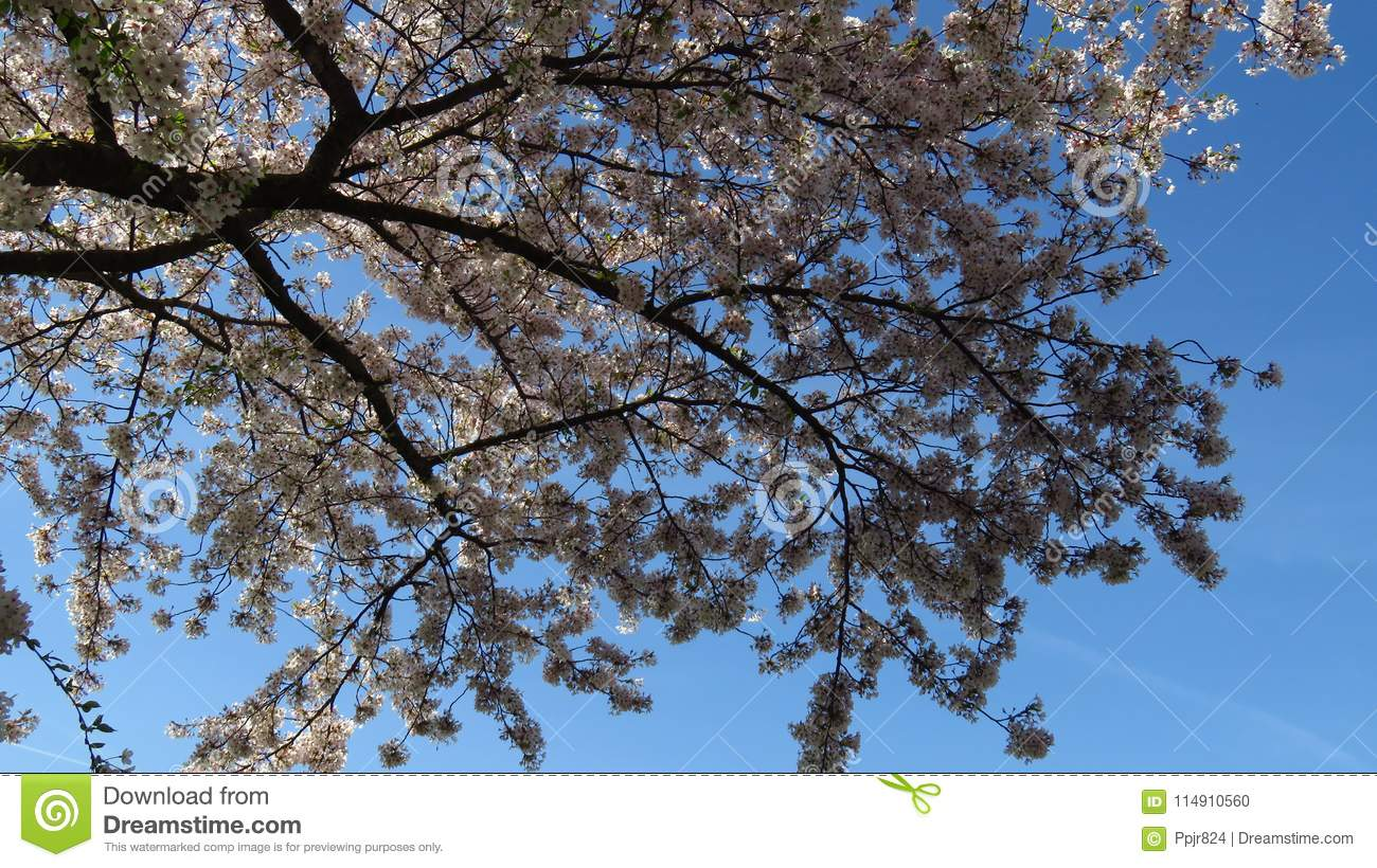 Pink and white spring blooming tree with blue sky stock photo pink and white spring blooming tree with blue sky izmirmasajfo