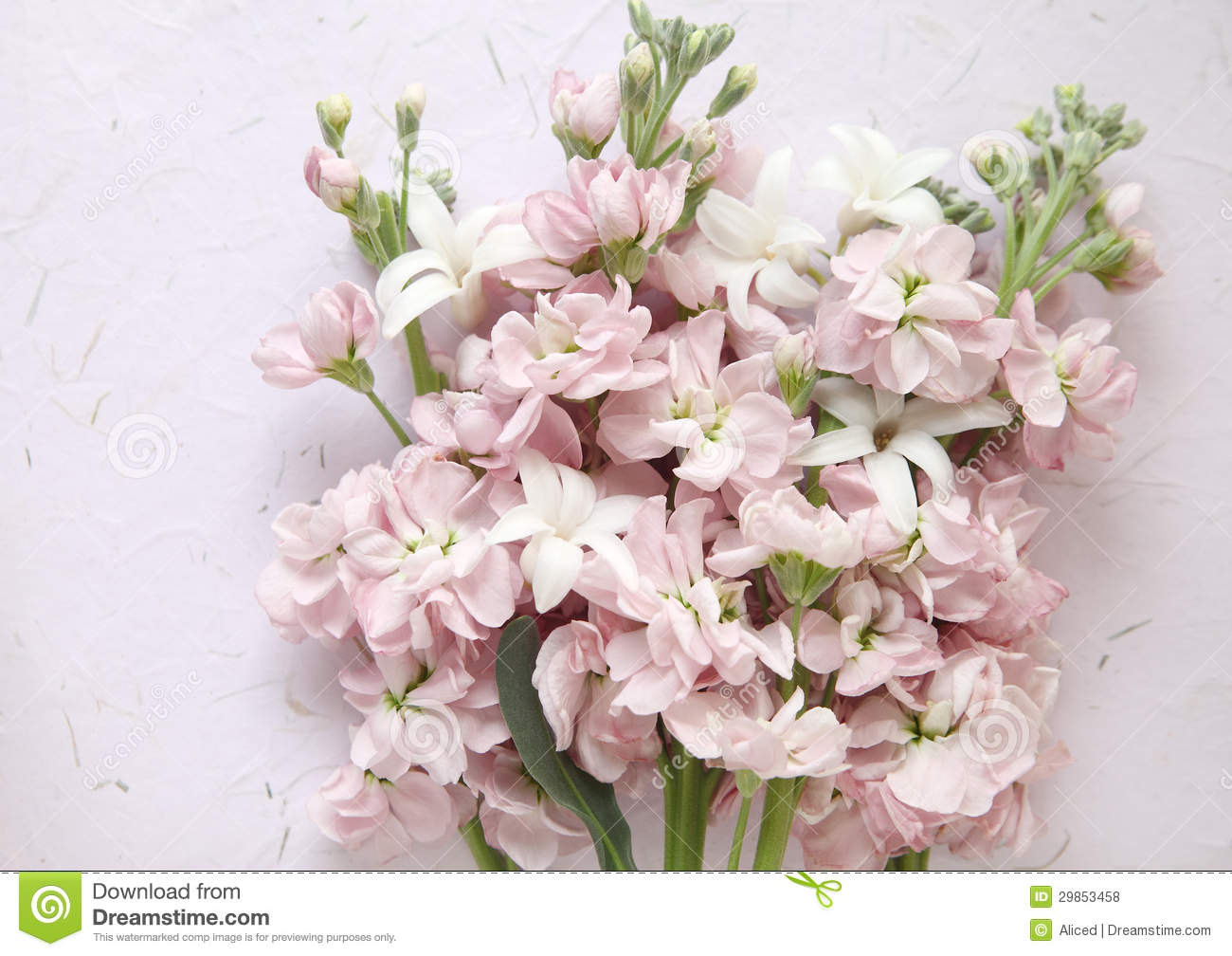 Pink Stock And White Hyacinth Flowers Stock Photo Image Of White