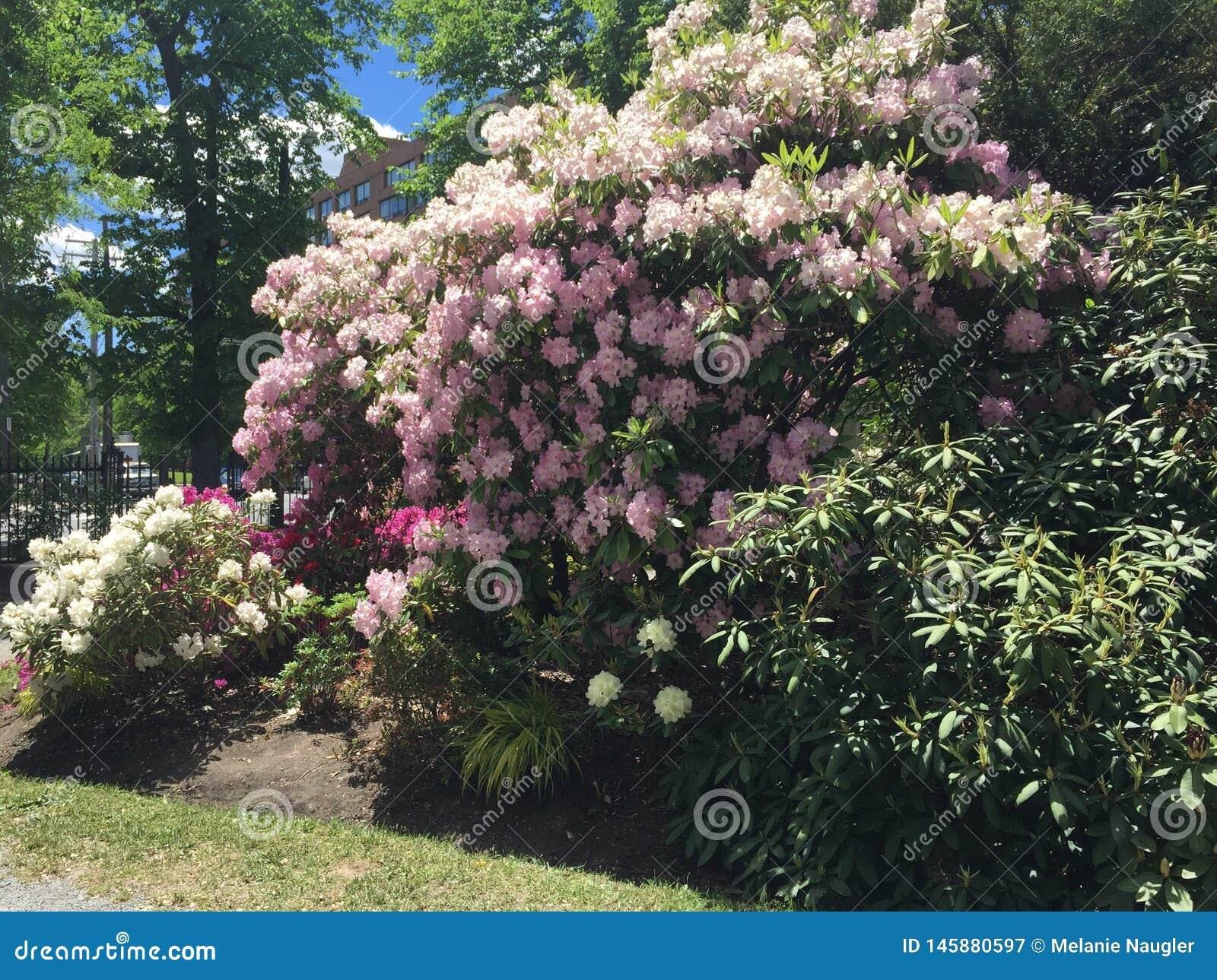 Rhododendrons  in Public garden Halifax NS