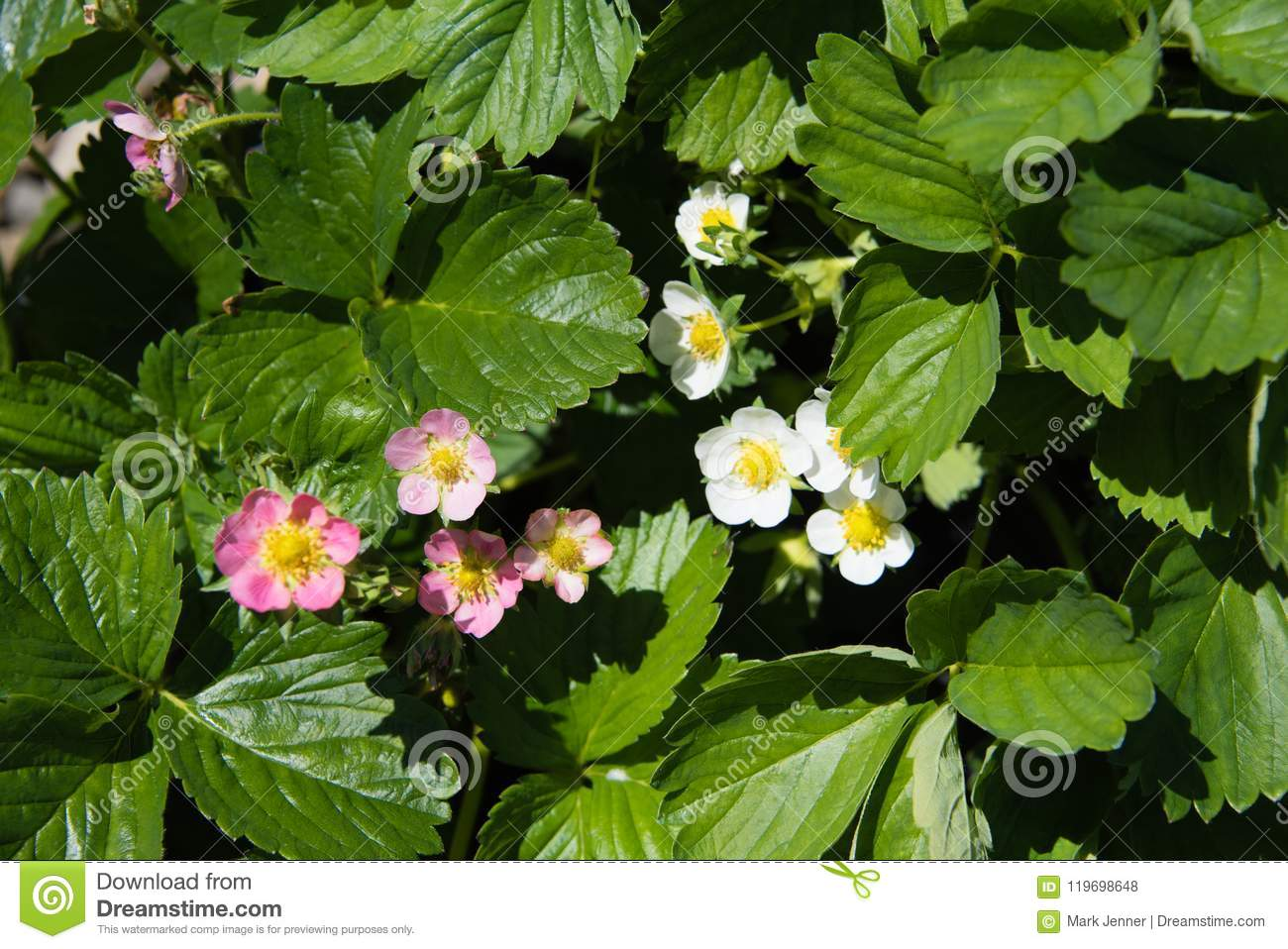 Pink And White Strawberry Blossom Amongst The Greenery Stock Photo