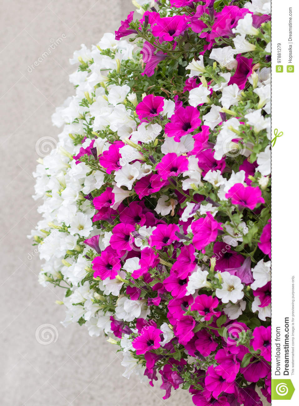 Pink and white surfinia flowers stock image image of flower detail of wall mounted hanging basket with trailing white and pink surfinia flowers mightylinksfo