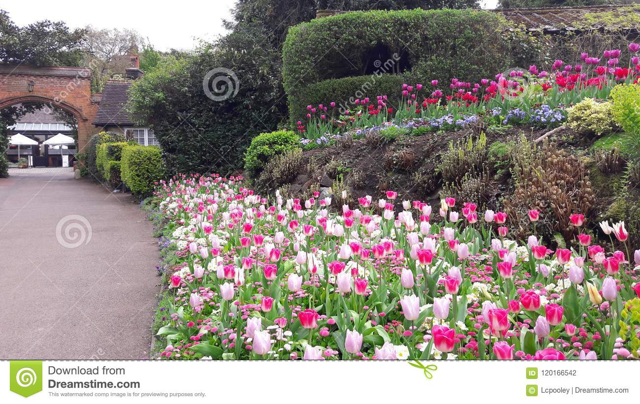 Pink And White Tulips In Coombe Wood Gardens, Shirley