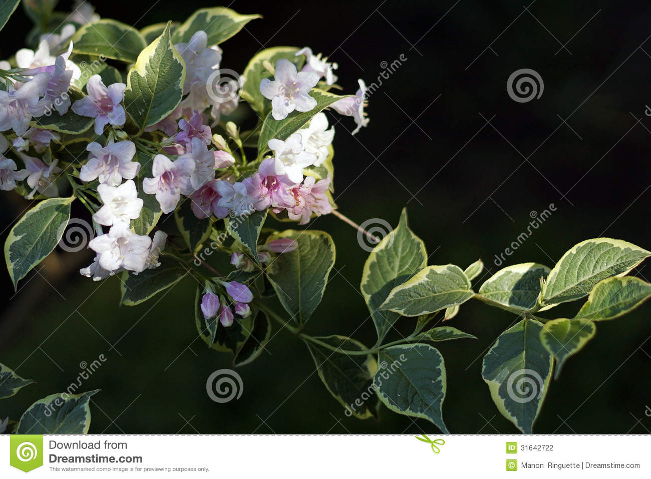 Pink And White Variegated Weigela Stock Photo Image Of Landscaping