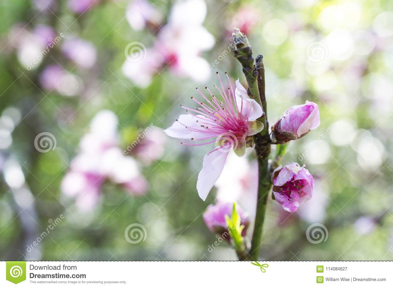 Cherry tree flowers cherry blossom festival georgia usa stock download cherry tree flowers cherry blossom festival georgia usa stock image image of mightylinksfo
