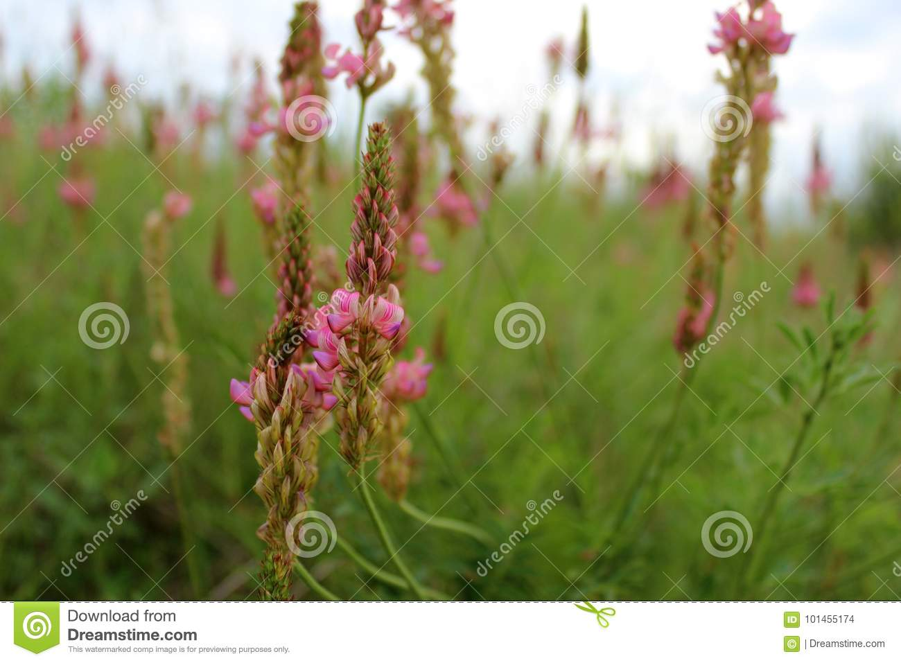 Pink Wild Flowers Sainfoin In A Summer Meadow Europe Stock Photo