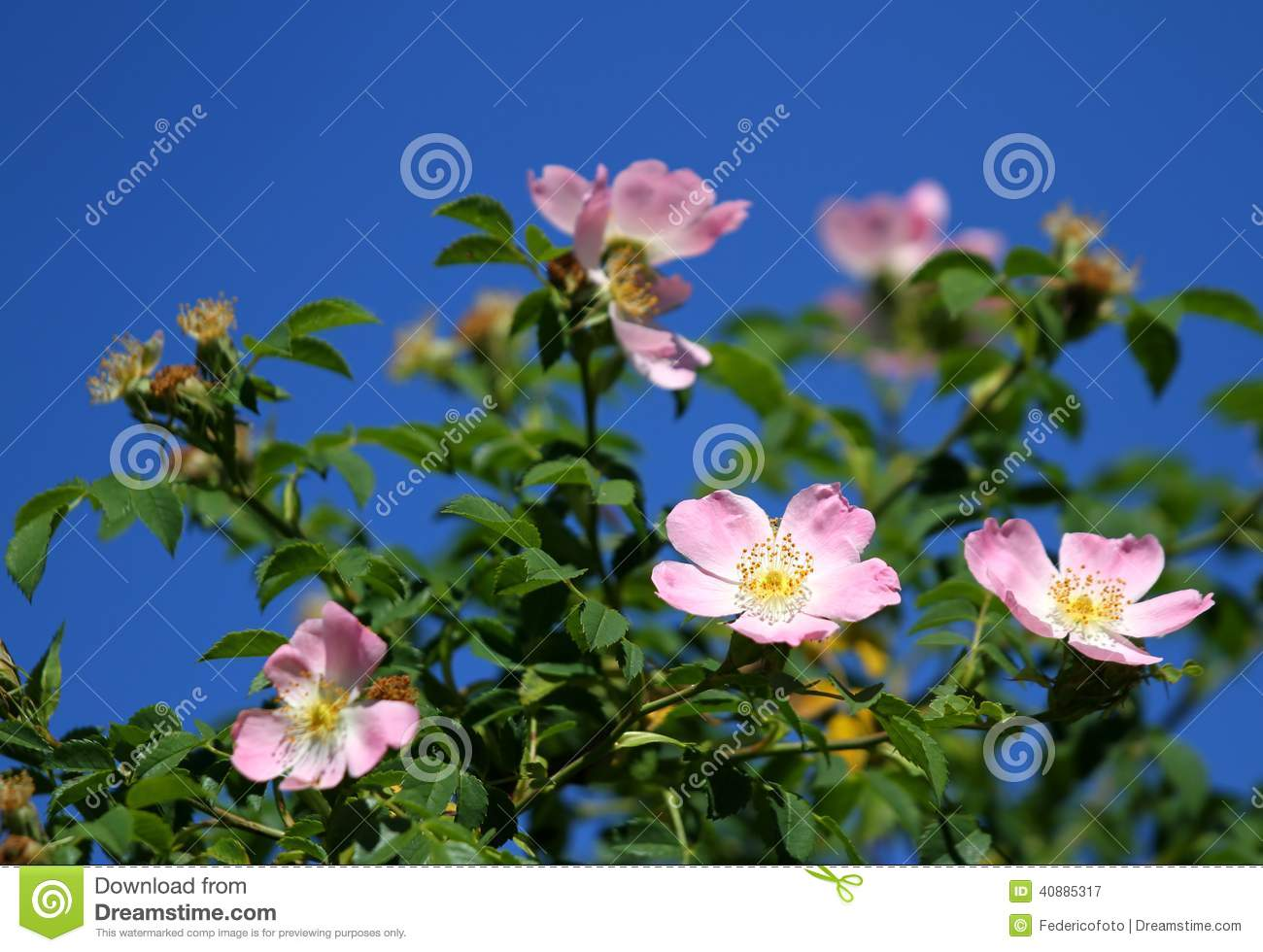 Beautiful pink flowers in the garden stock photography image - Pink Wild Roses In A Bush Of Thorns In Spring Stock Photo