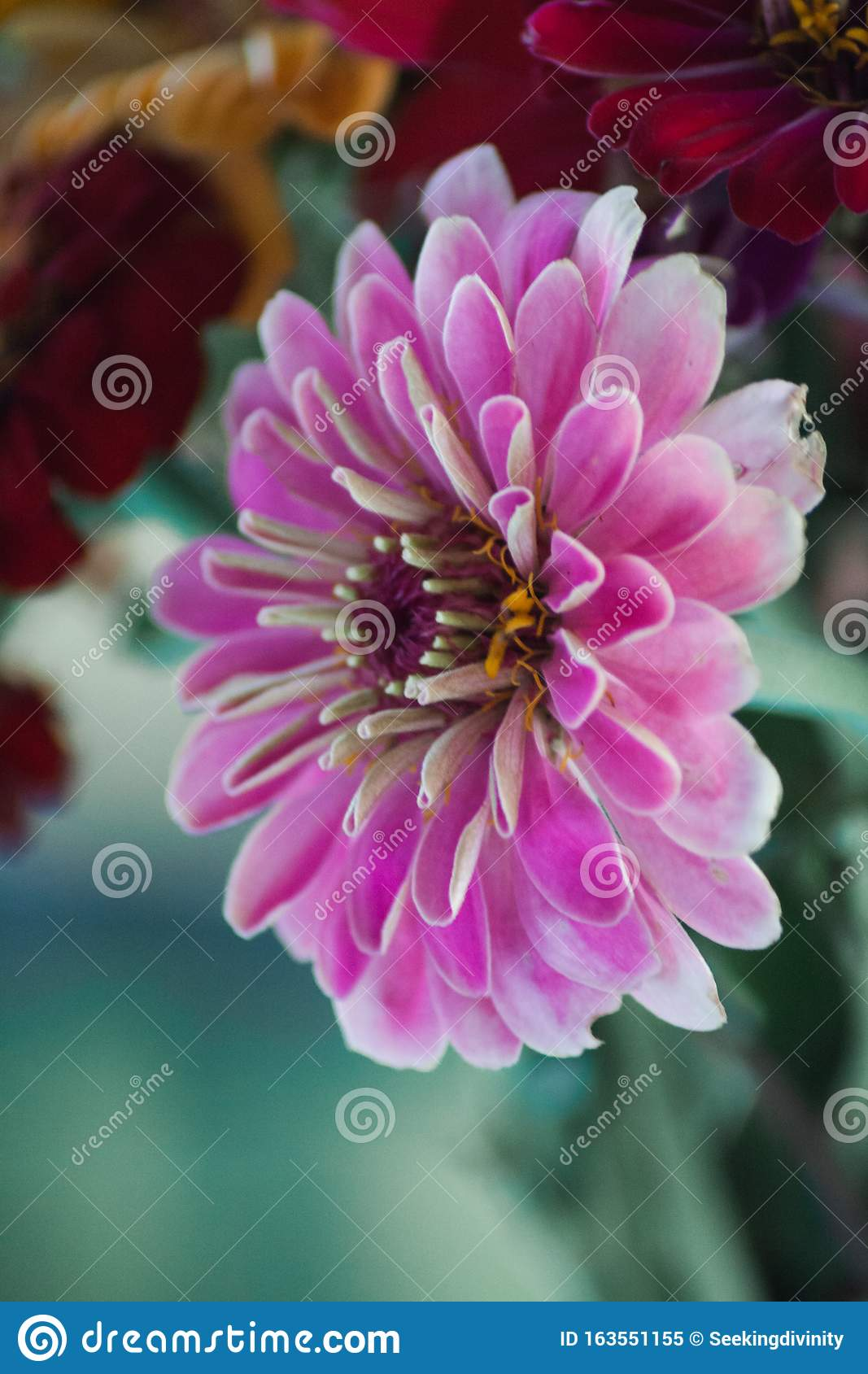 Pink Wildflower In A Bouquet Stock Image Image Of Wildflower Nature 163551155