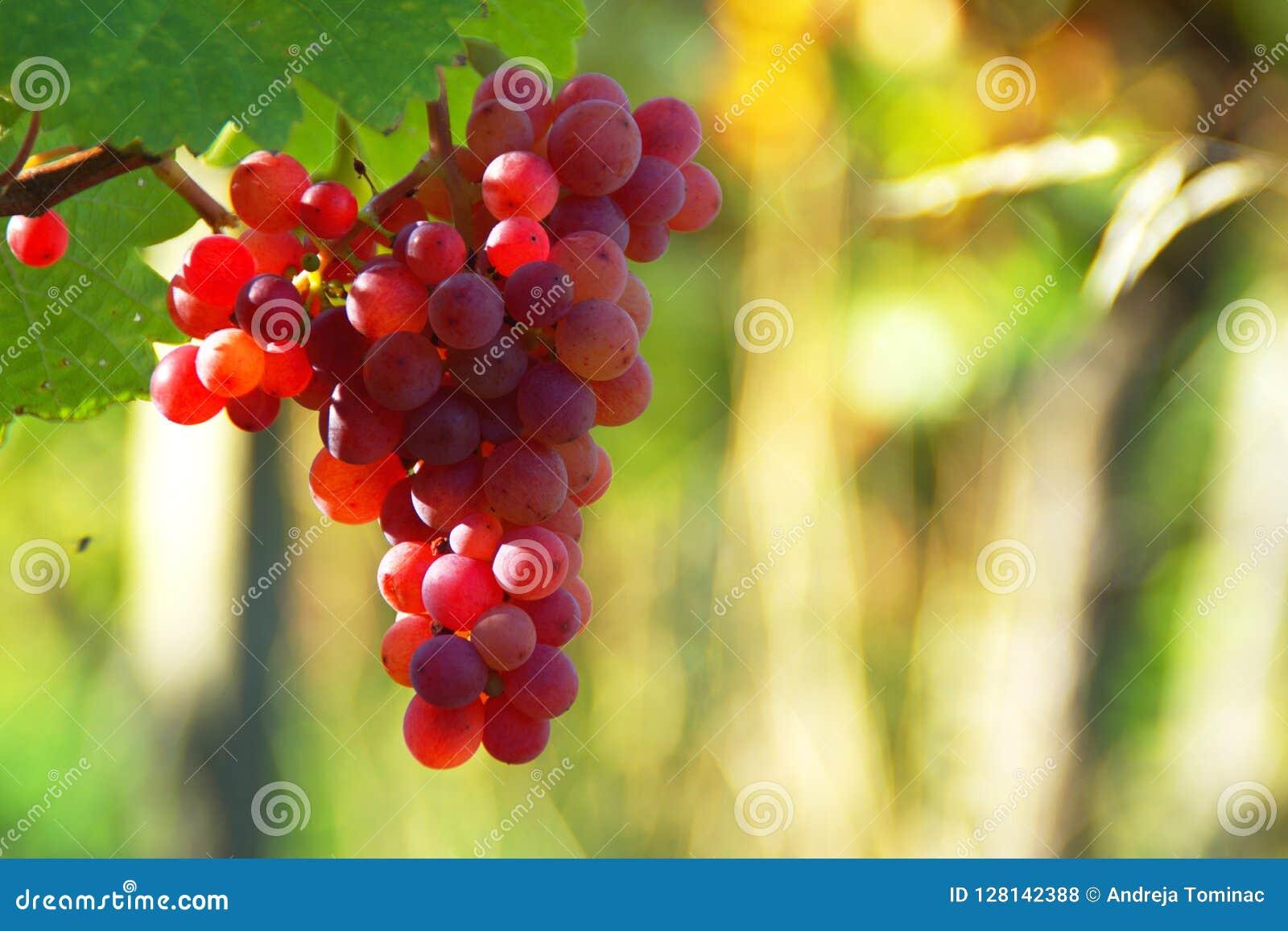 Pink Wine Grapes In Vineyard