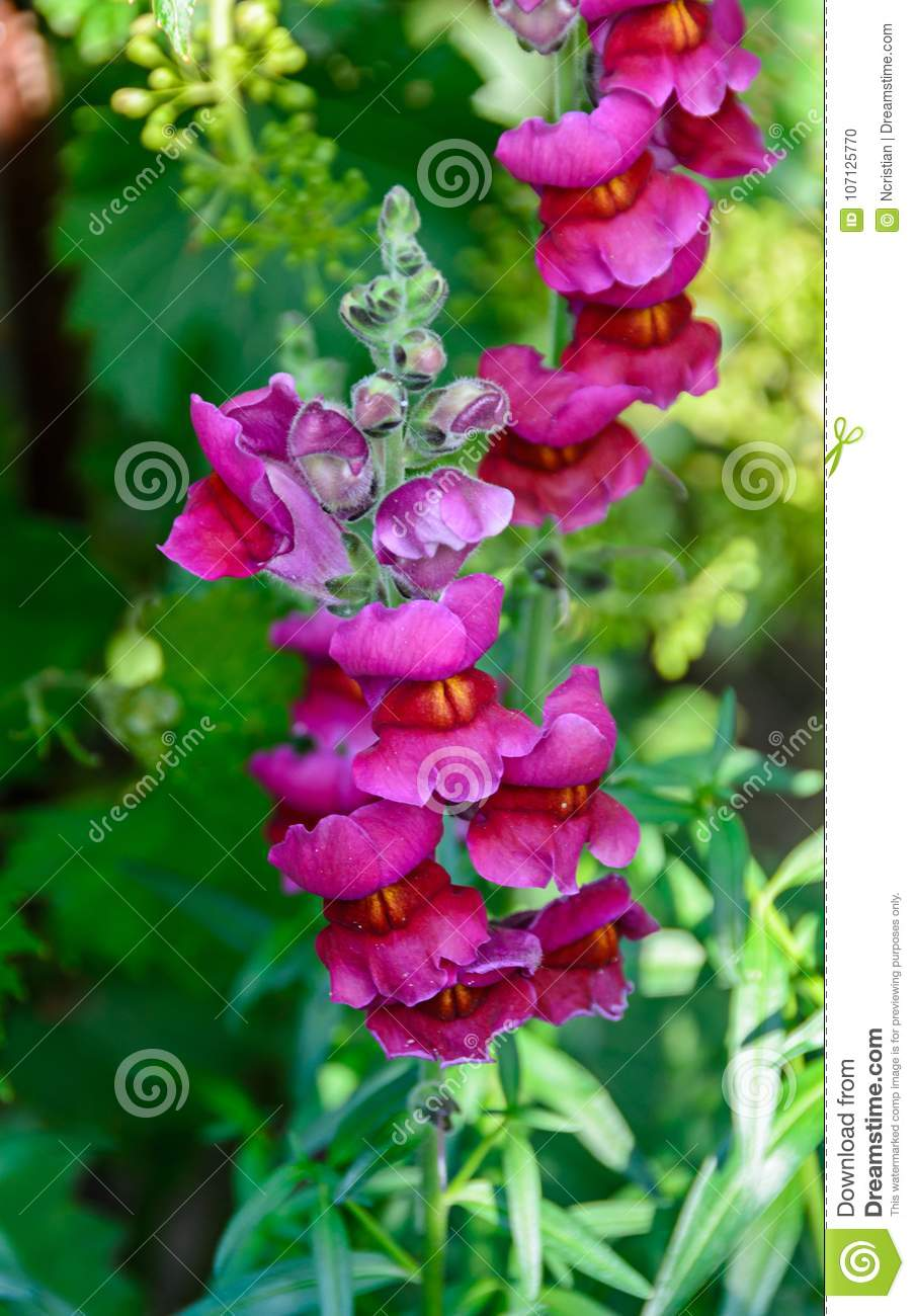 pink with yellow antirrhinums dragon flowers or snapdragons stock