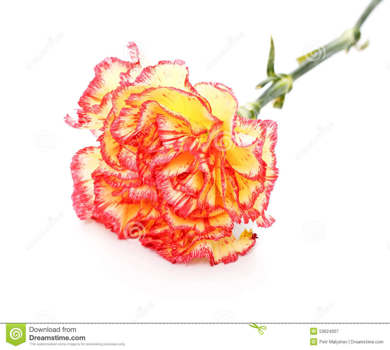 carnation single women Standing for sweetness and loveliness, innocence and pure love, the white carnation is the historical good luck gift to women cultivated for more than 2,000 years and named flower of the gods, it was used to create garlands for ancient greek ceremonies.