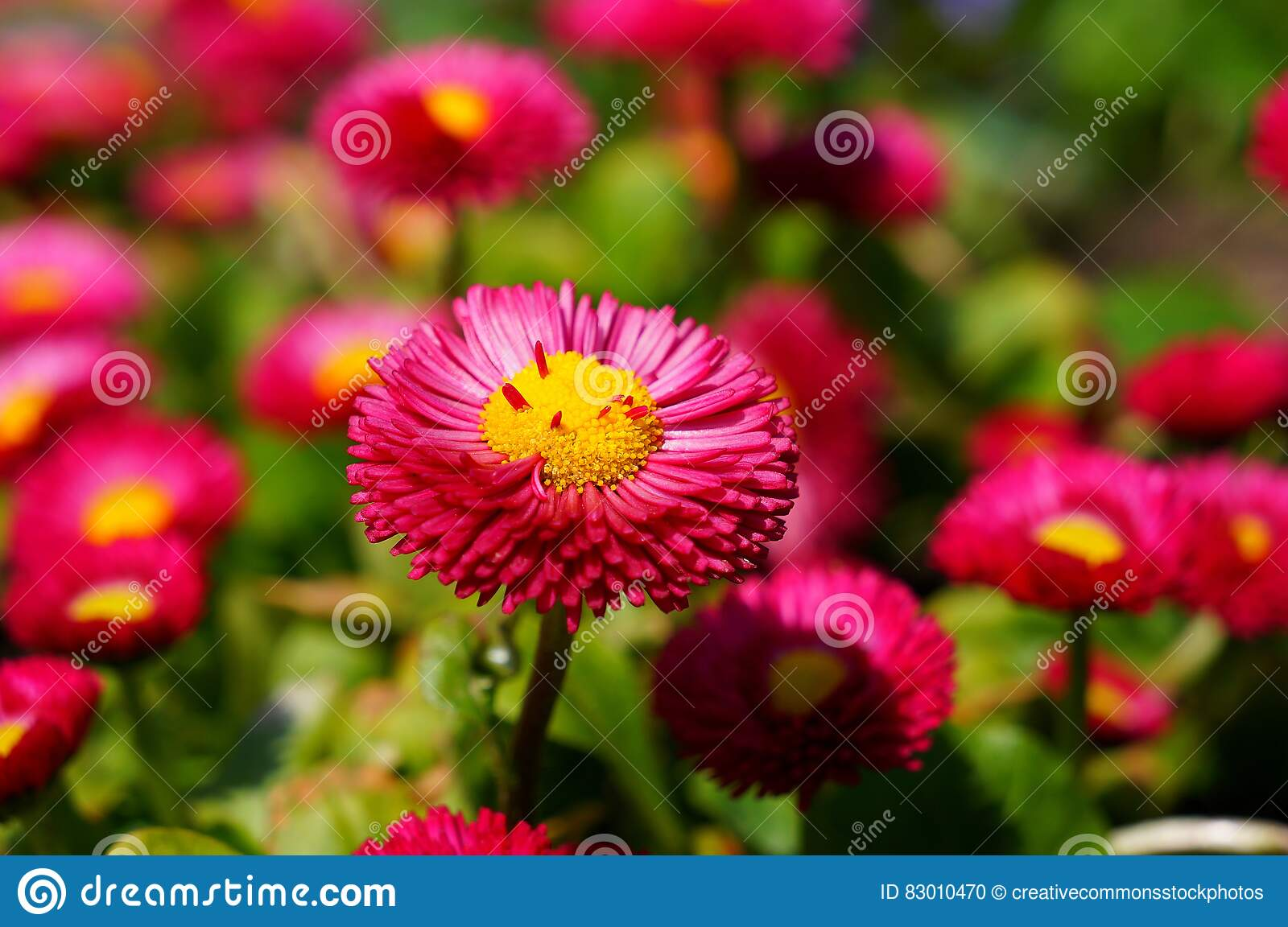 Download Pink and Yellow Flower stock photo. Image of photo, blossom - 83010470