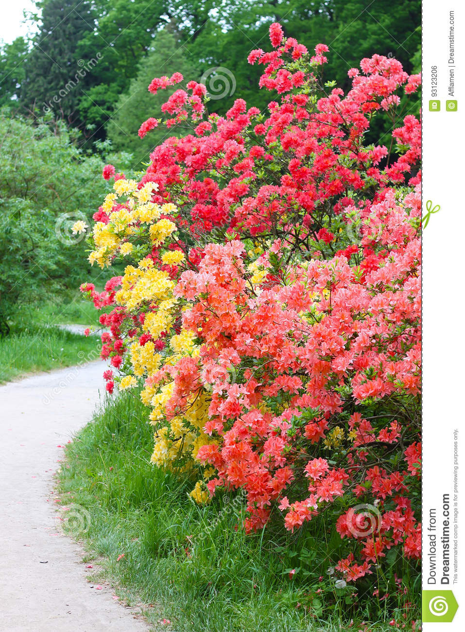 Pink And Yellow Flowering Bushes Near Pathway Stock Photo Image Of