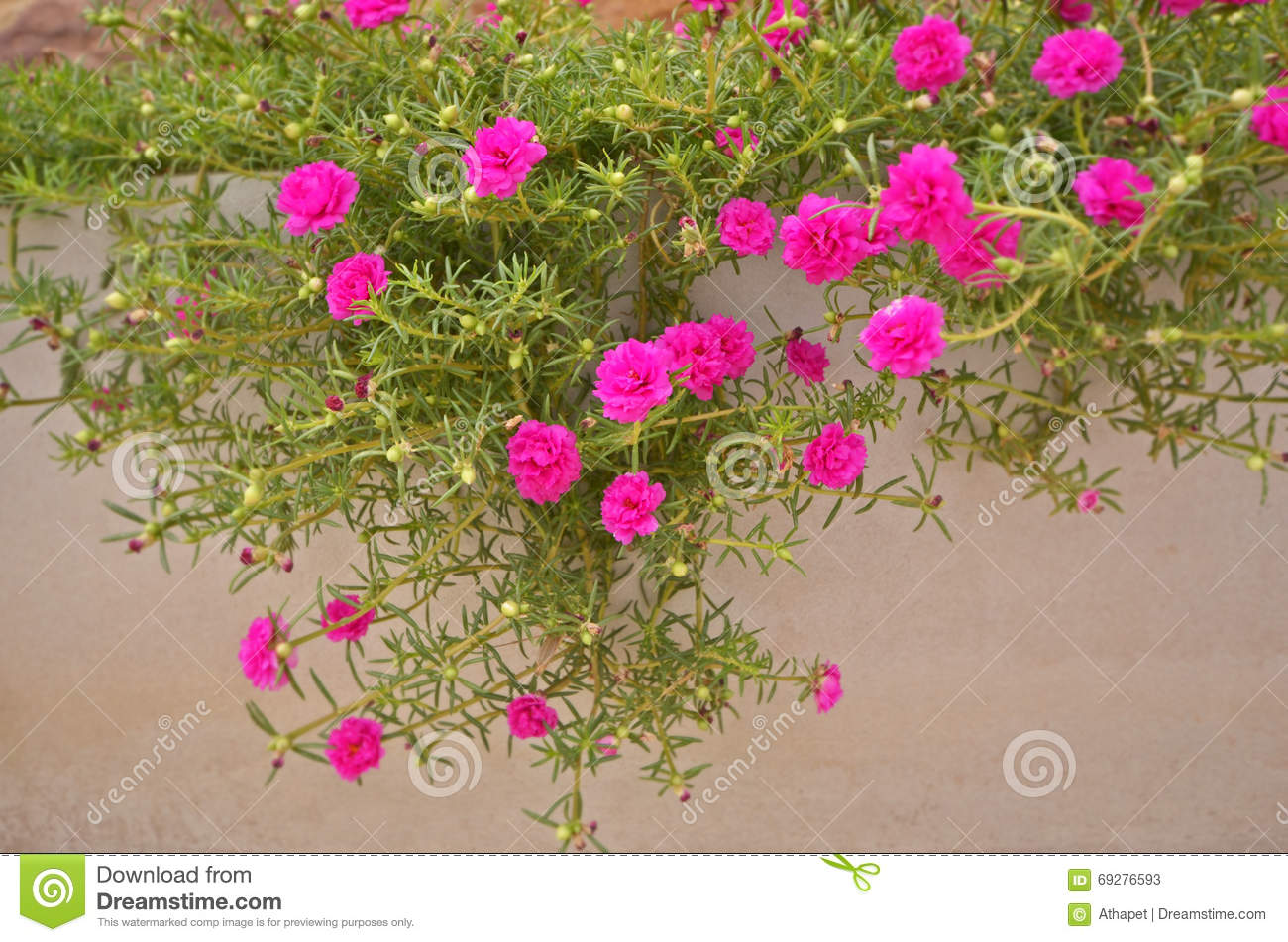 Pink And Yellow Moss Rose Flowers With Leaves Stock Image Image Of