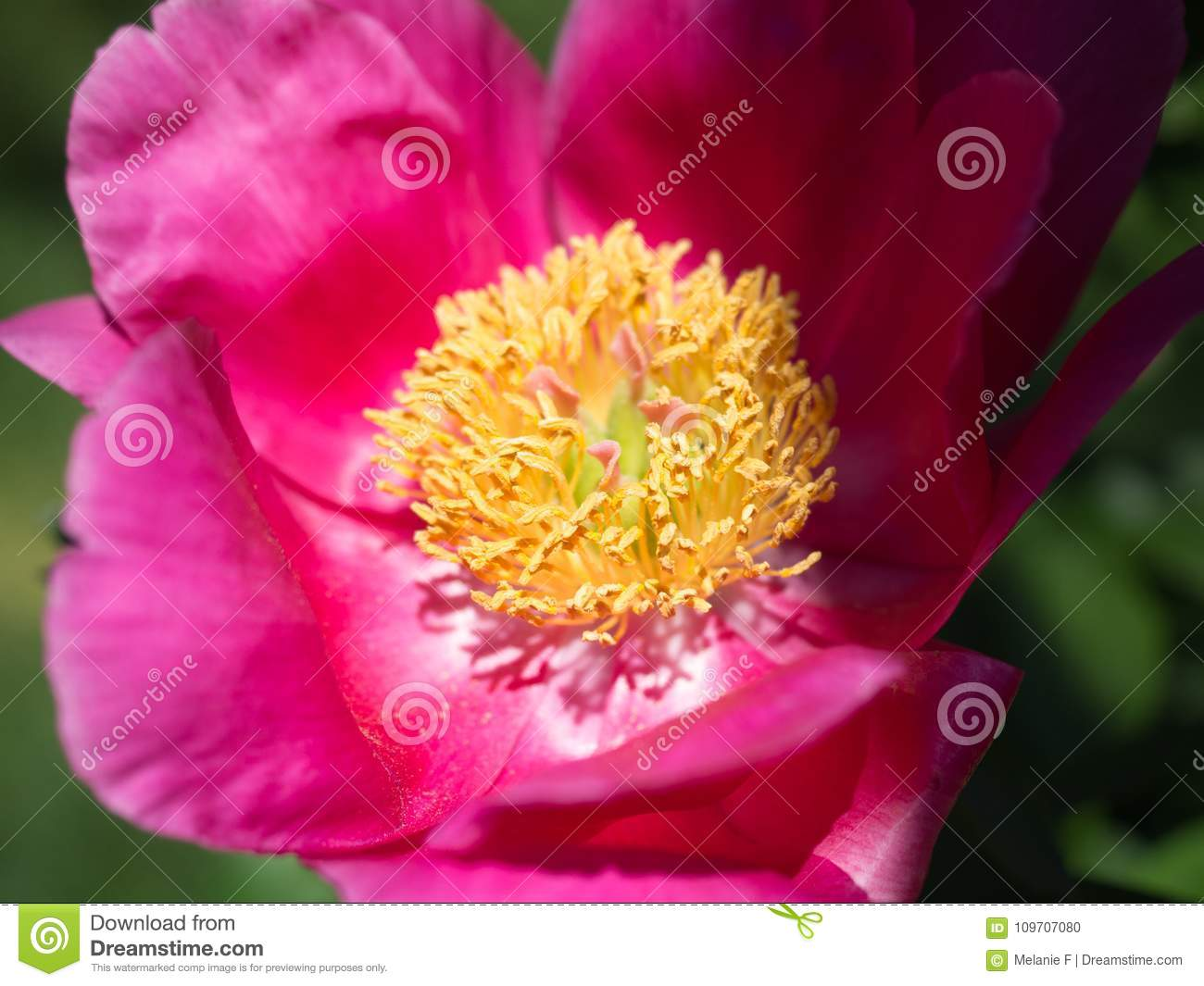 Pink And Yellow Peony Flower Stock Photo Image Of Blossom Flowers