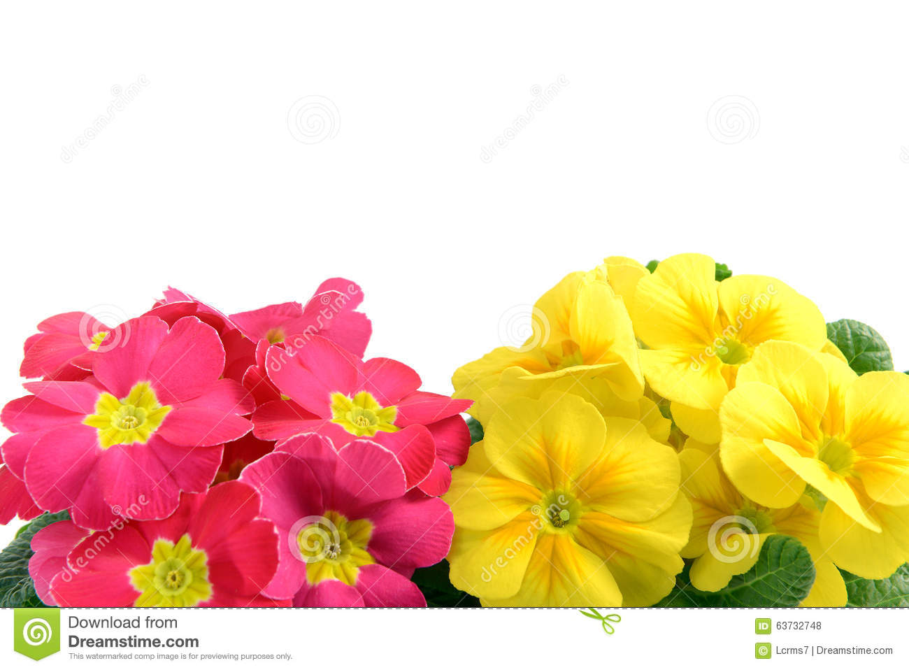 Pink And Yellow Primrose Flower Frame Copyspace Isolated On Wh