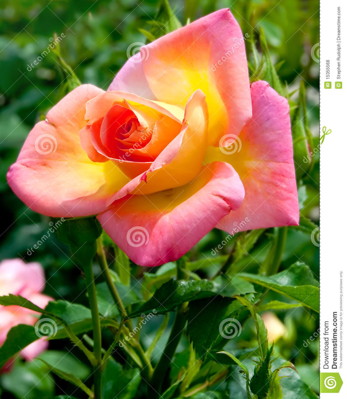 Fiori Gialli Rose.Pink And Yellow Rose Blossom Stock Photo Image Of Blossoming