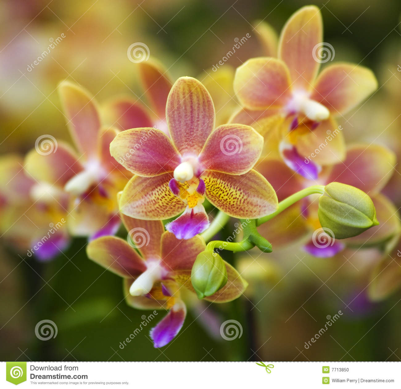 Yellow And Pink Orchid Pink Yellow Spotted Or...