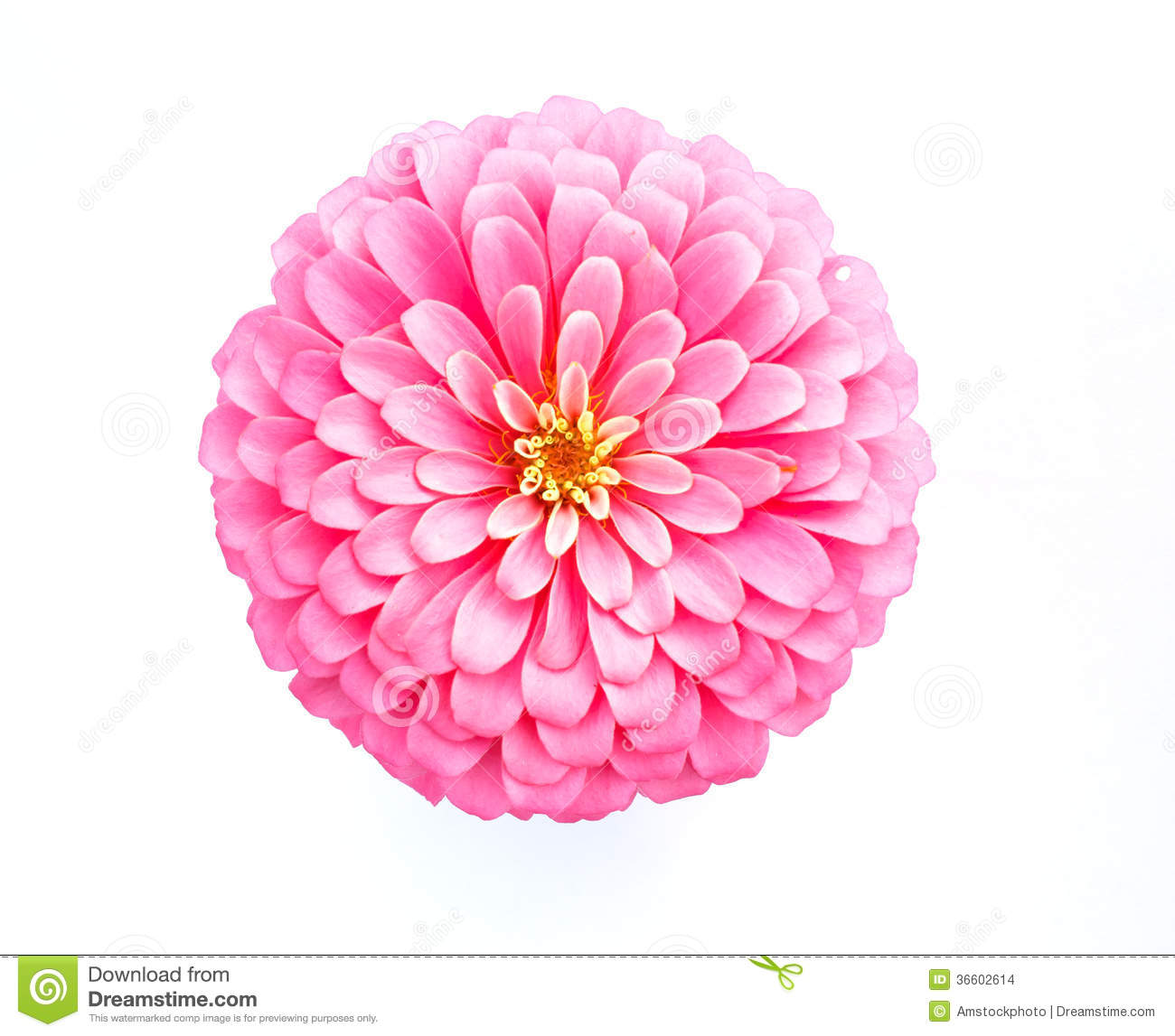 Pink Zinnia Flower On White Background Stock Images ...