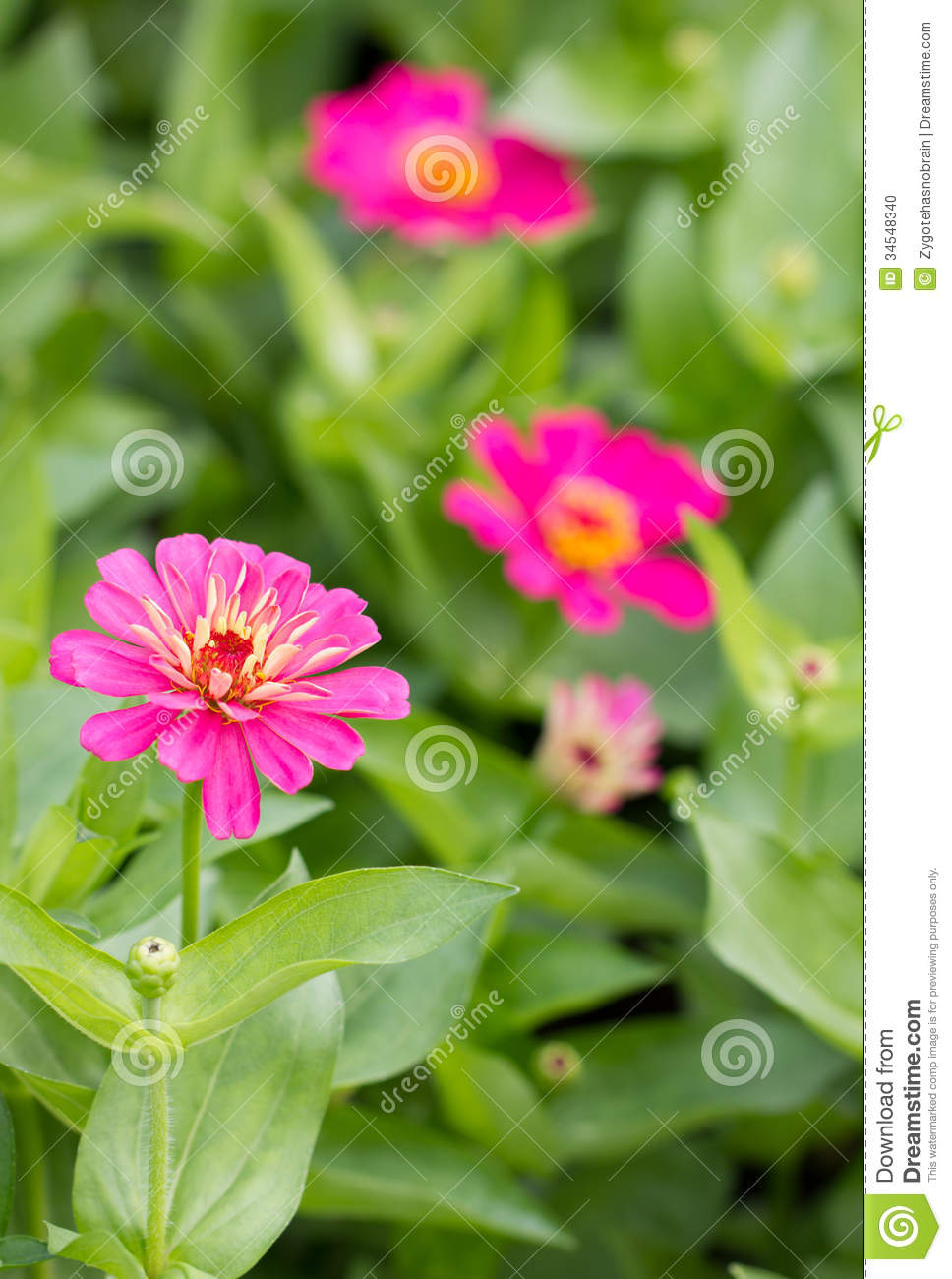 Pink Zinnia Flowers Stock Photo Image Of Isolated Close 34548340