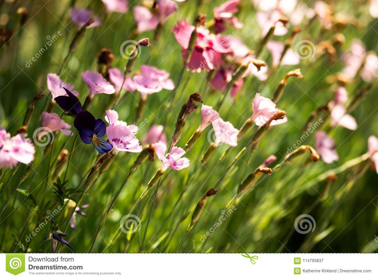 Pinks and pansy flowers stock image image of flower 114793837 pinks and pansy flowers mightylinksfo