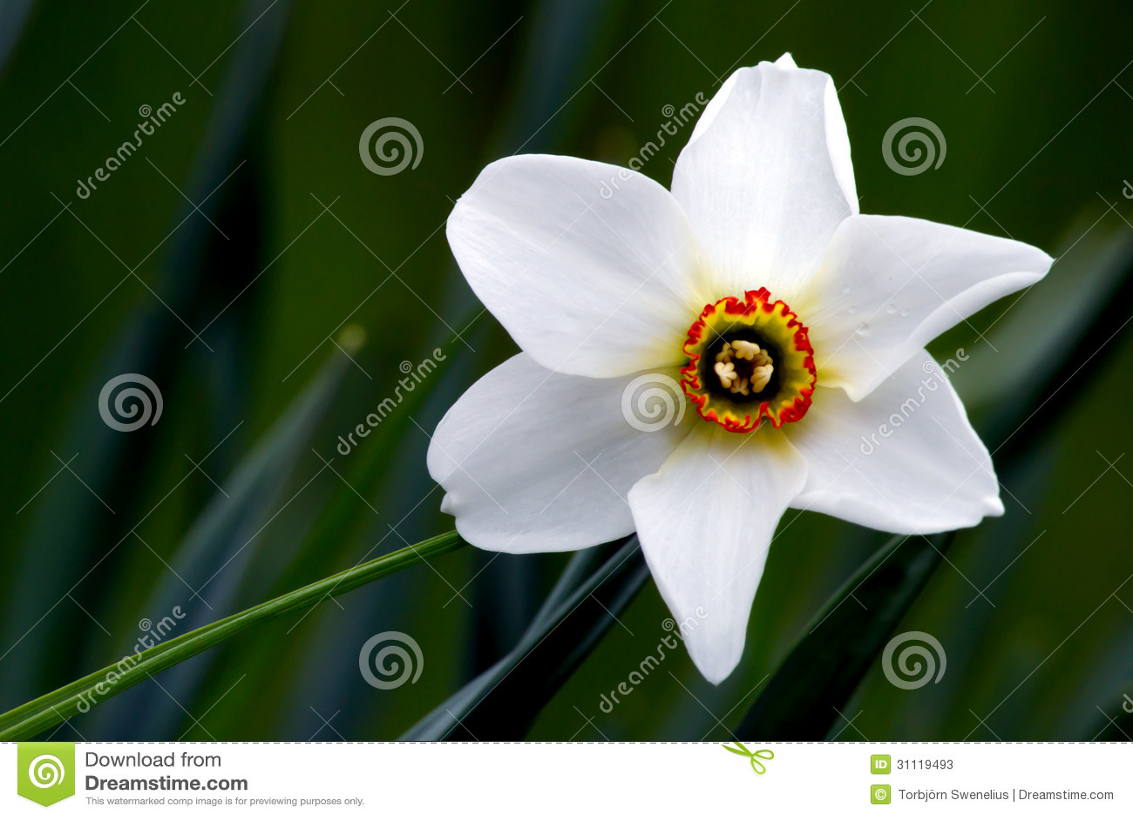Pinkster lilja (pingstliljapoeticusen)