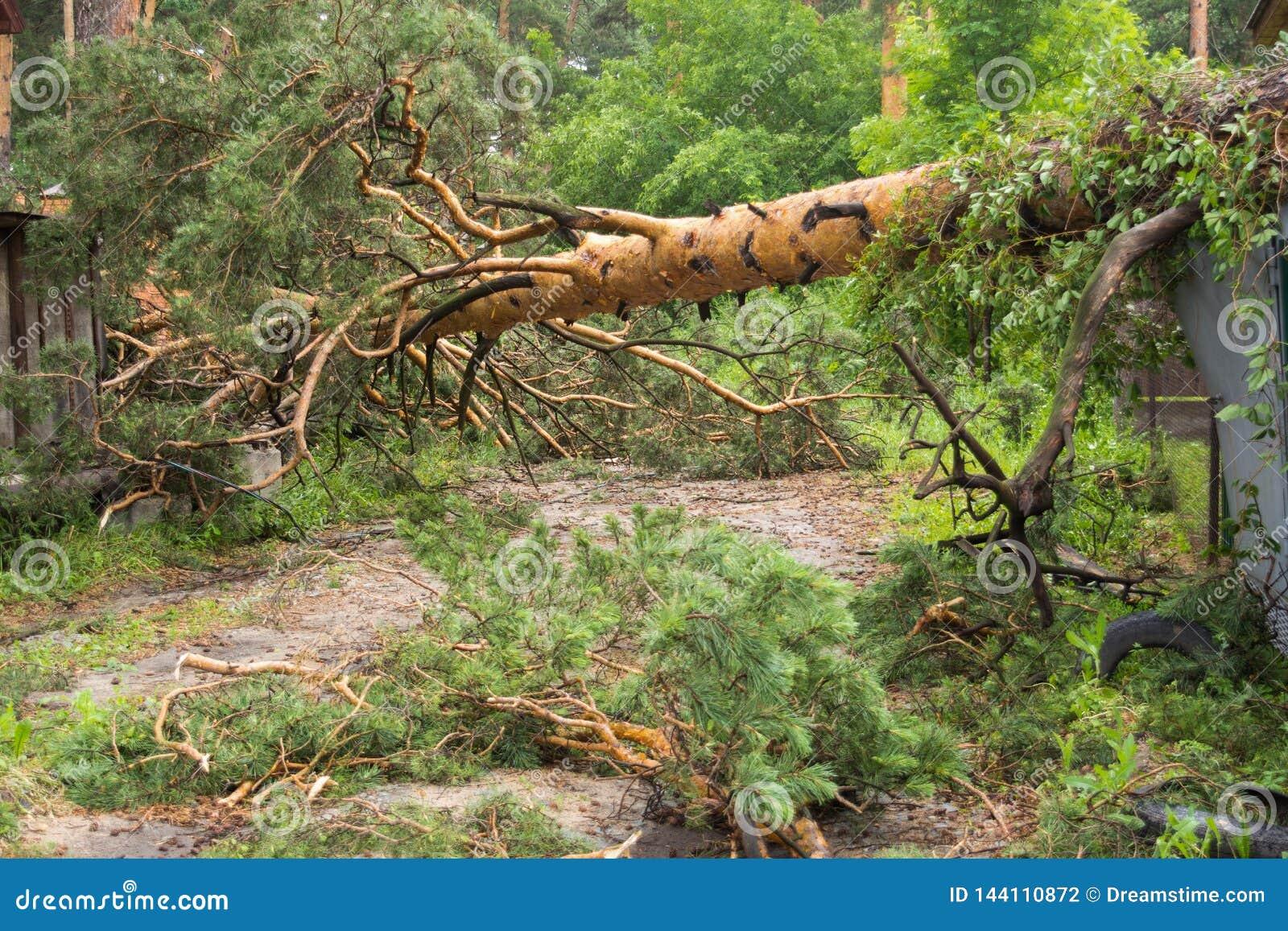 Pino caido después de un tornado