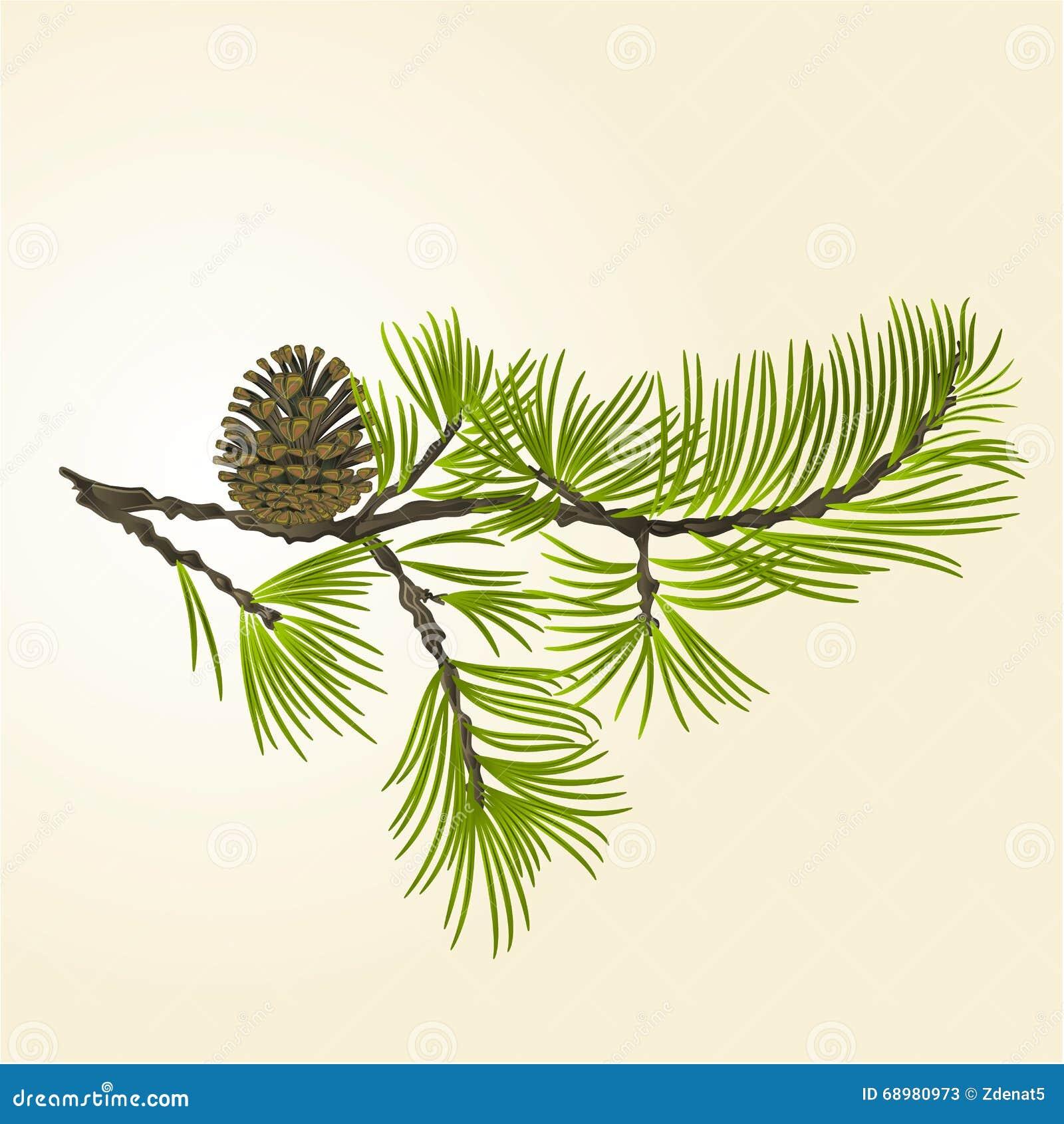 Pino de la rama con vector del cono del pino