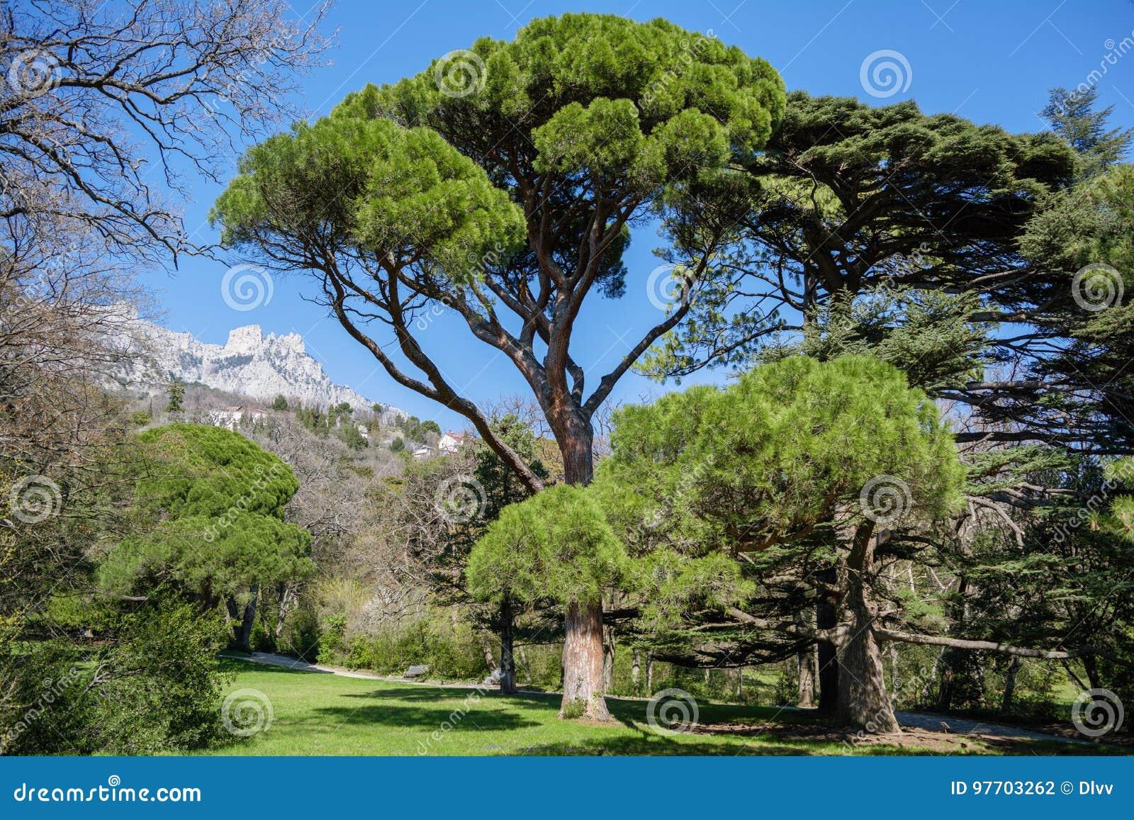 Pino gentile italiano Pinus pinea davanti al fondo della montagna di Ai-Pétri, Crimea