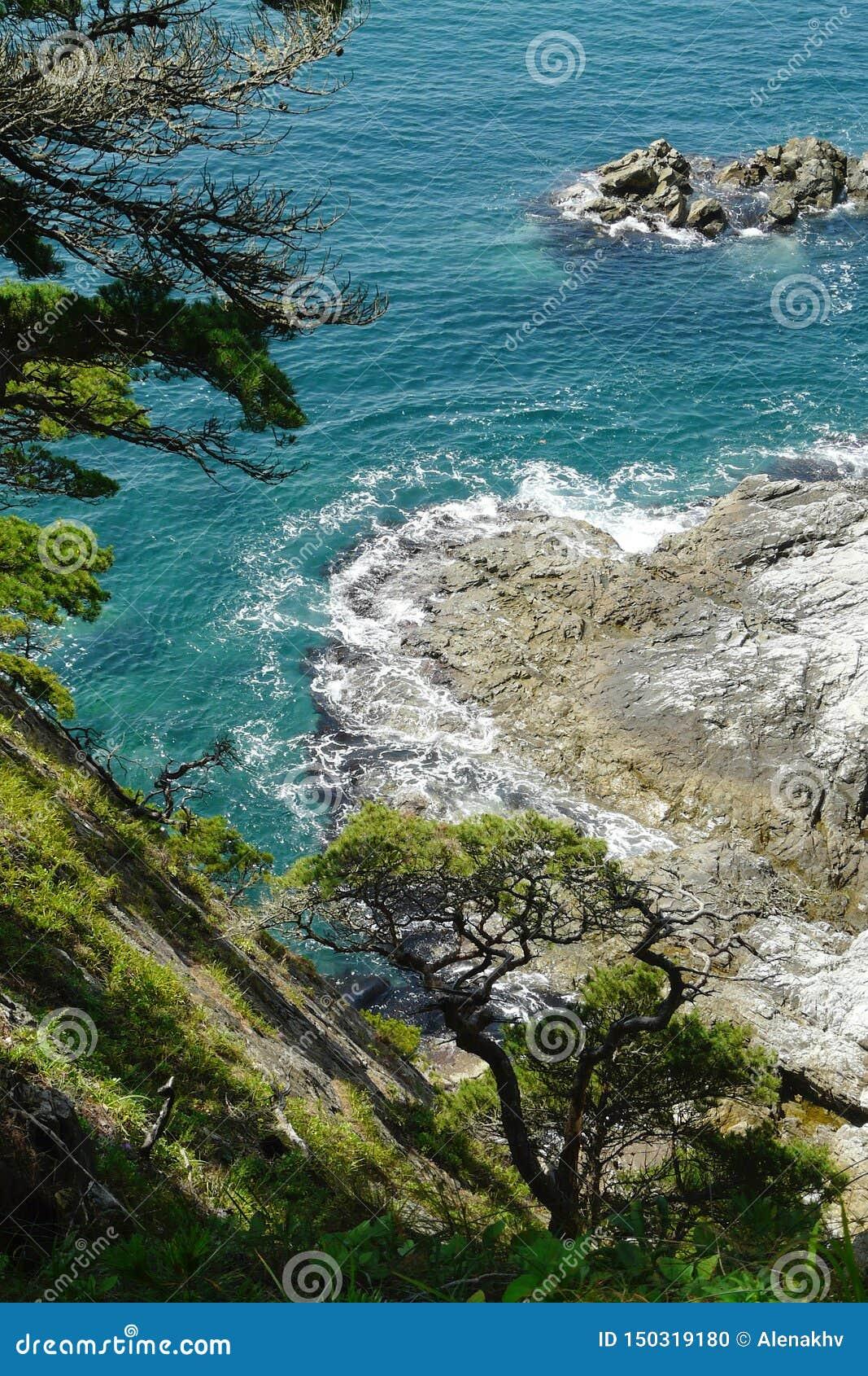 Pinos curvados costeros en las rocas sobre el balanceo pintoresco del mar en los acantilados