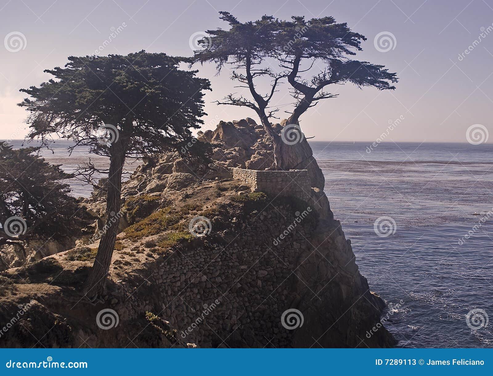 Pinos de Monterey Cypress