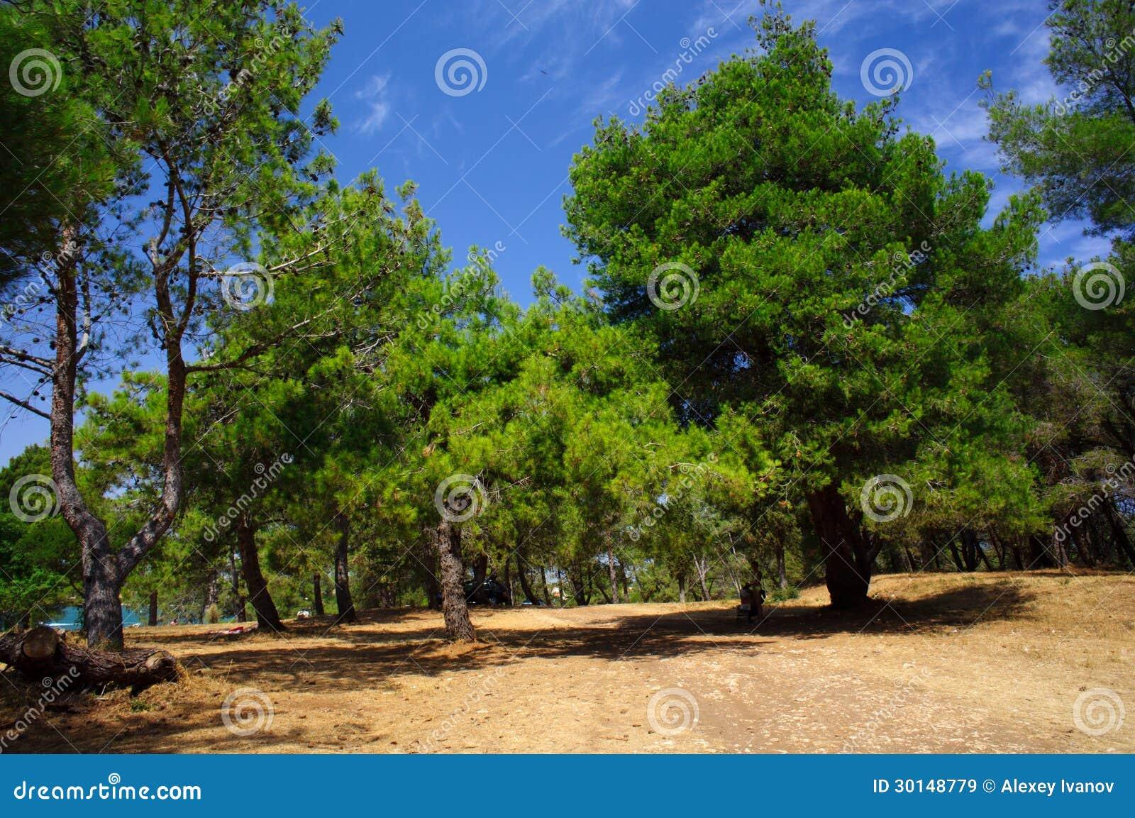 Pinos en el parque de Medulin