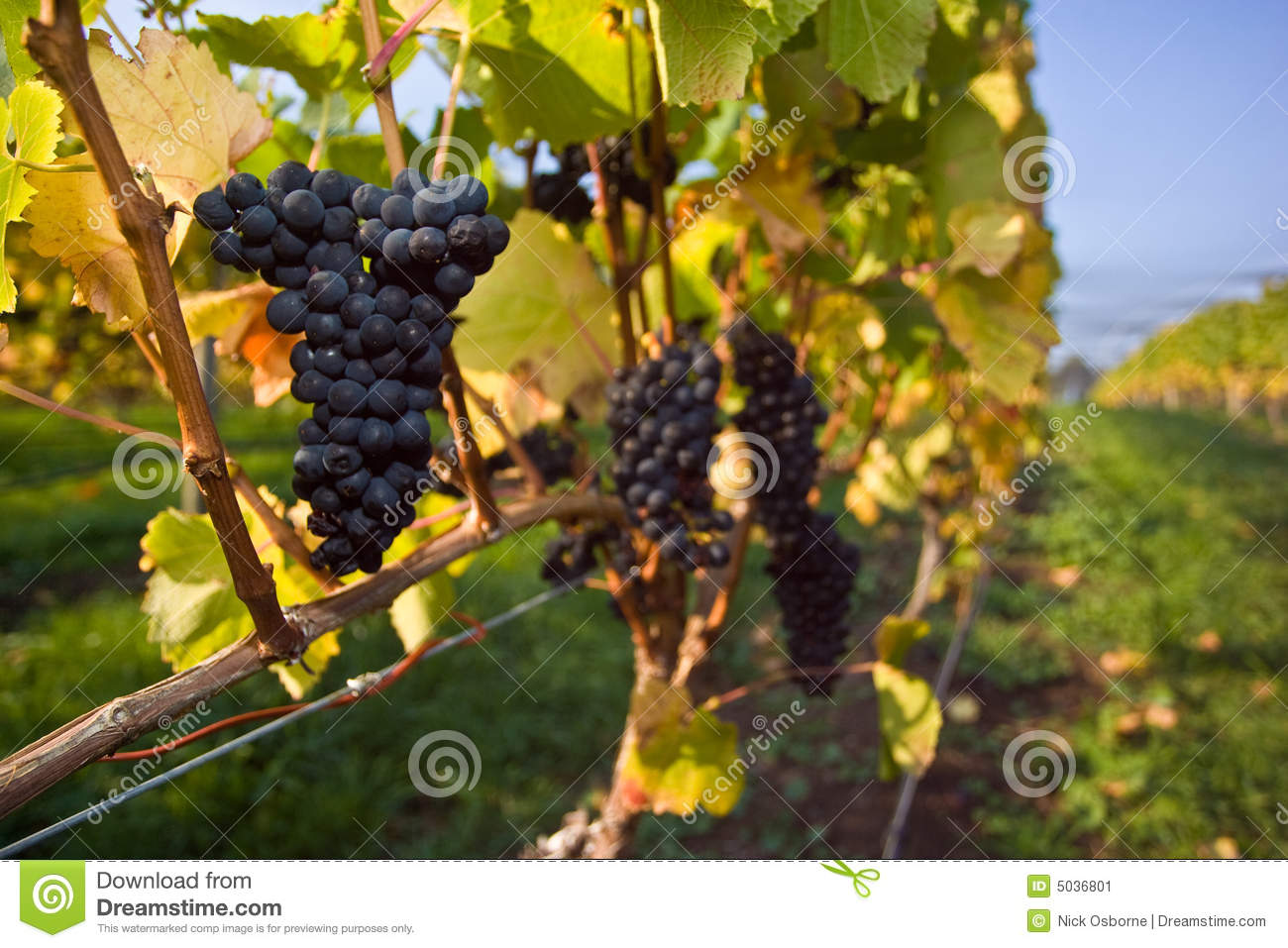 Pinot Noir GrapesPinot Noir Grape Vines