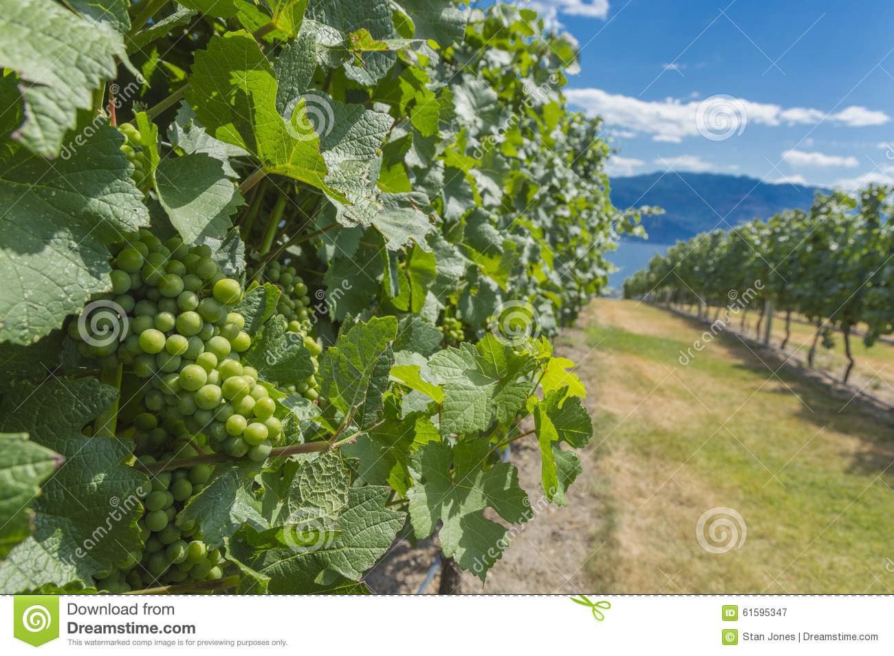 how to grow grapes in canada