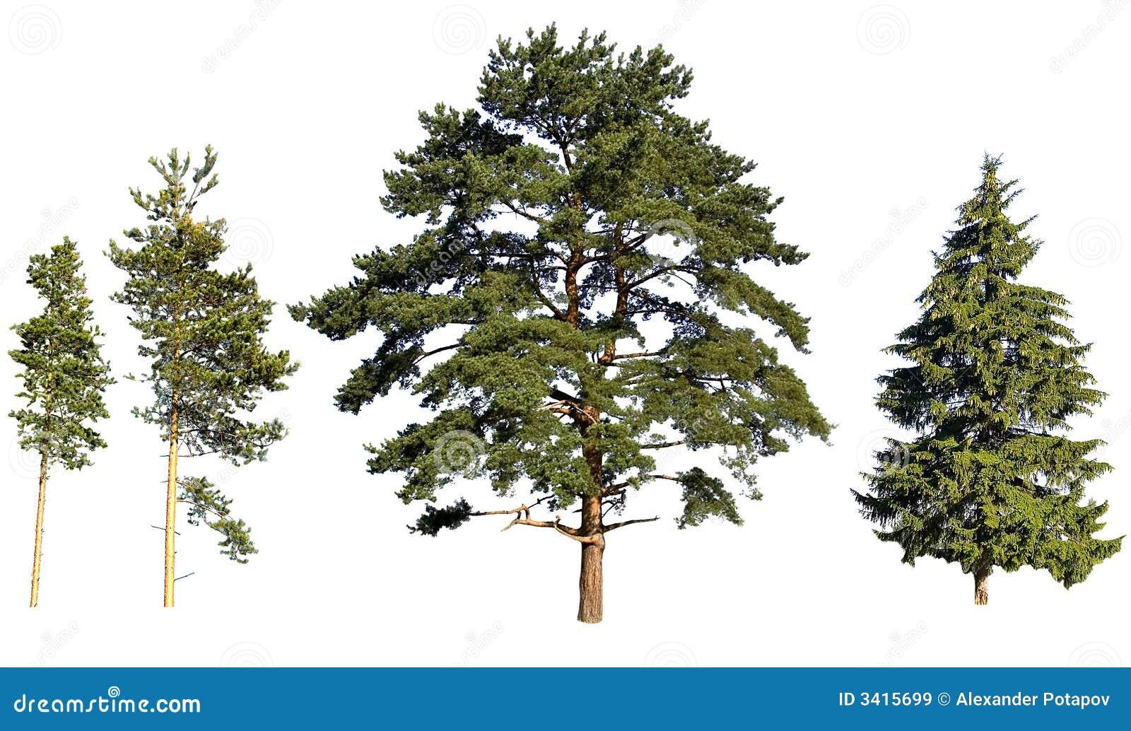 pins et sapin d 39 arbre images libres de droits image 3415699. Black Bedroom Furniture Sets. Home Design Ideas