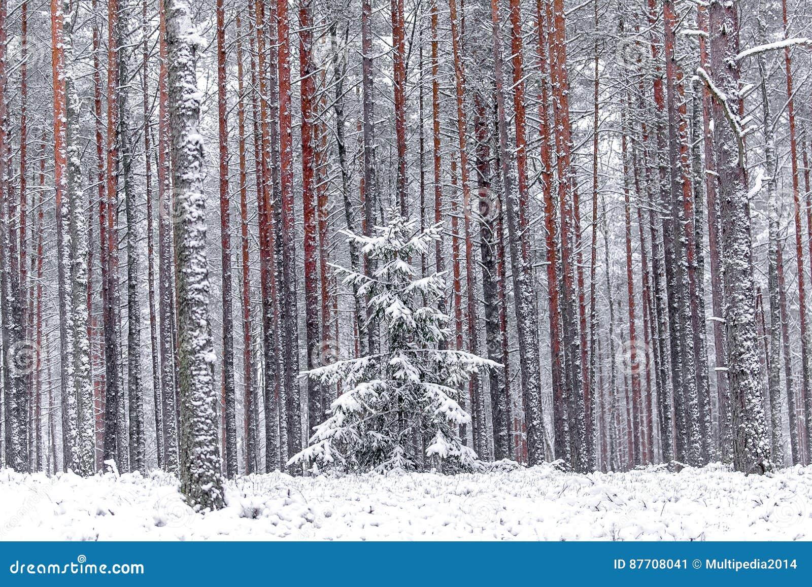 Pins rouges dans la forêt d hiver