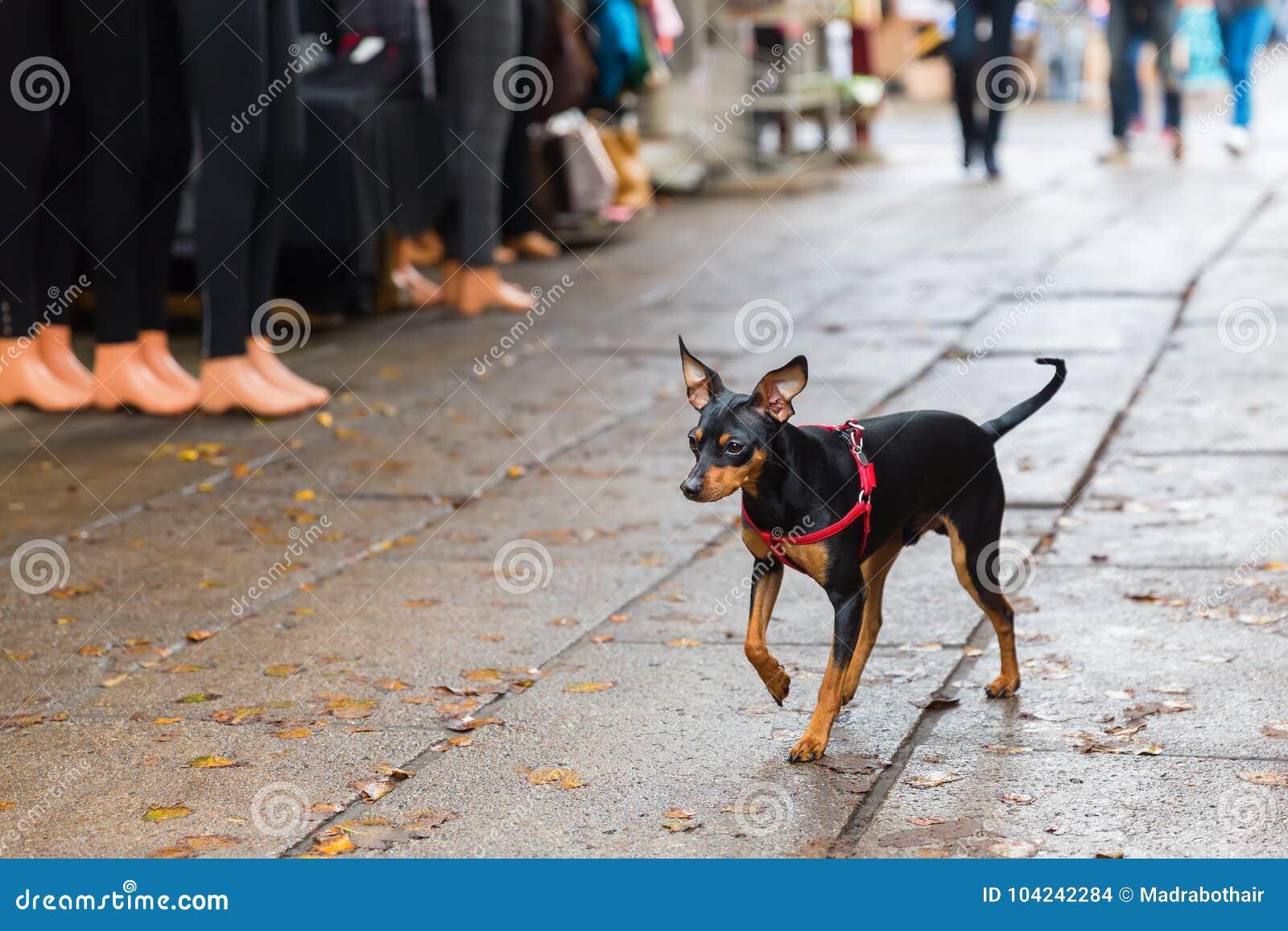 Pinscher dog walking on a shopping road