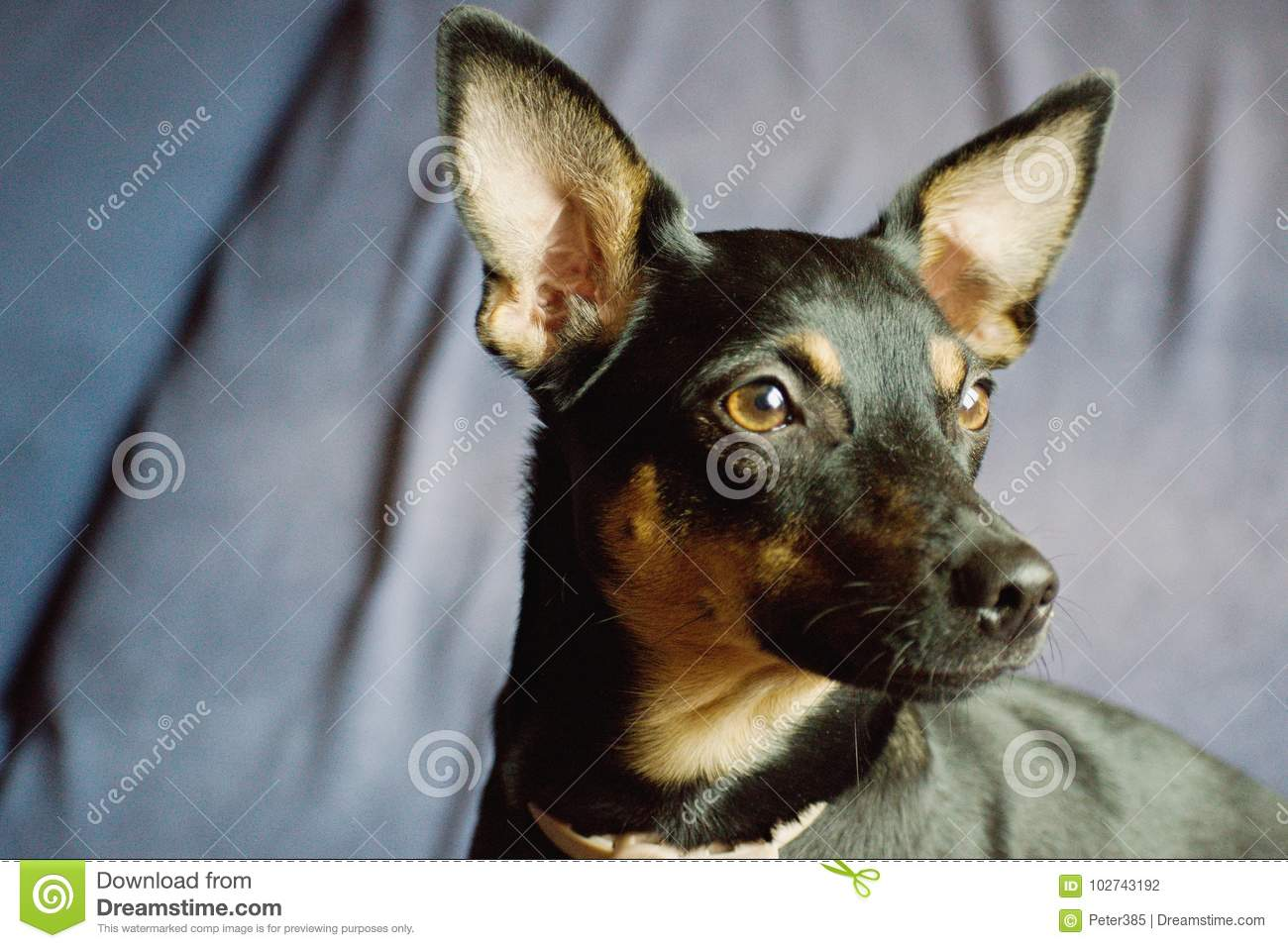 Download Pinscher stock photo. Image of cute, domestic, most - 102743192