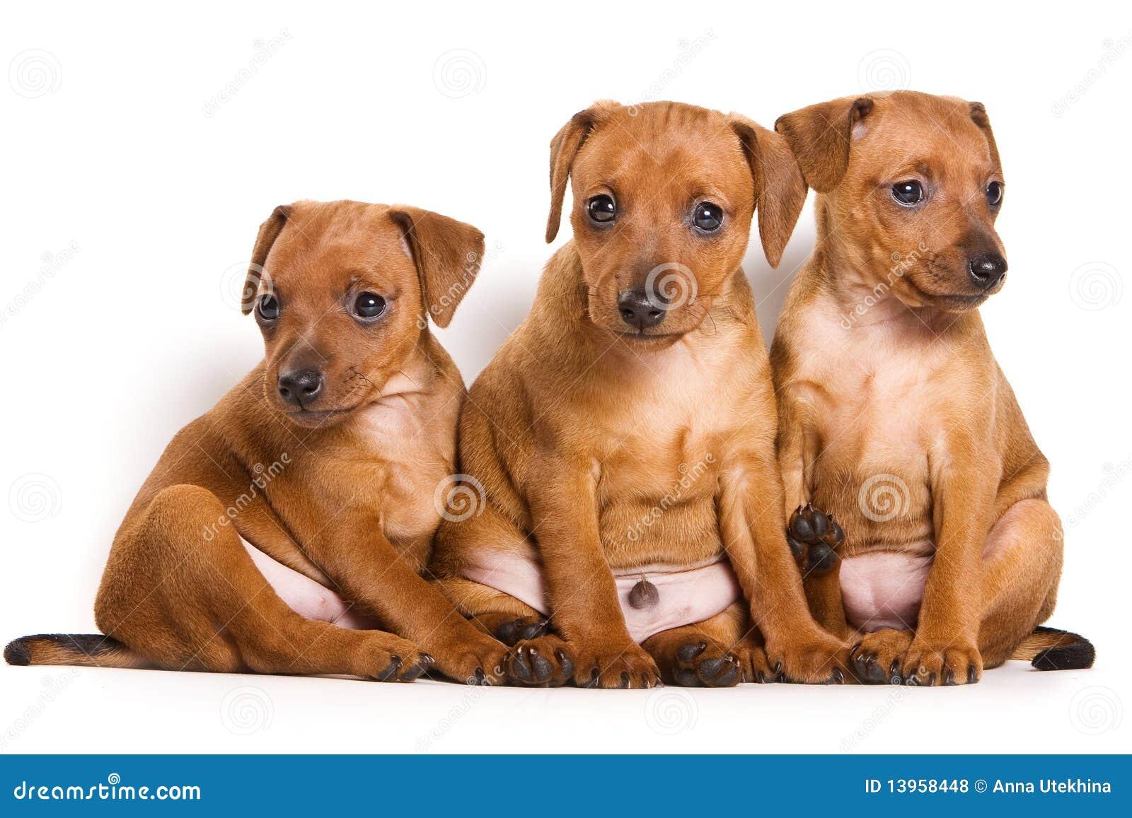 White Mini Pinscher | Dog Breeds Picture