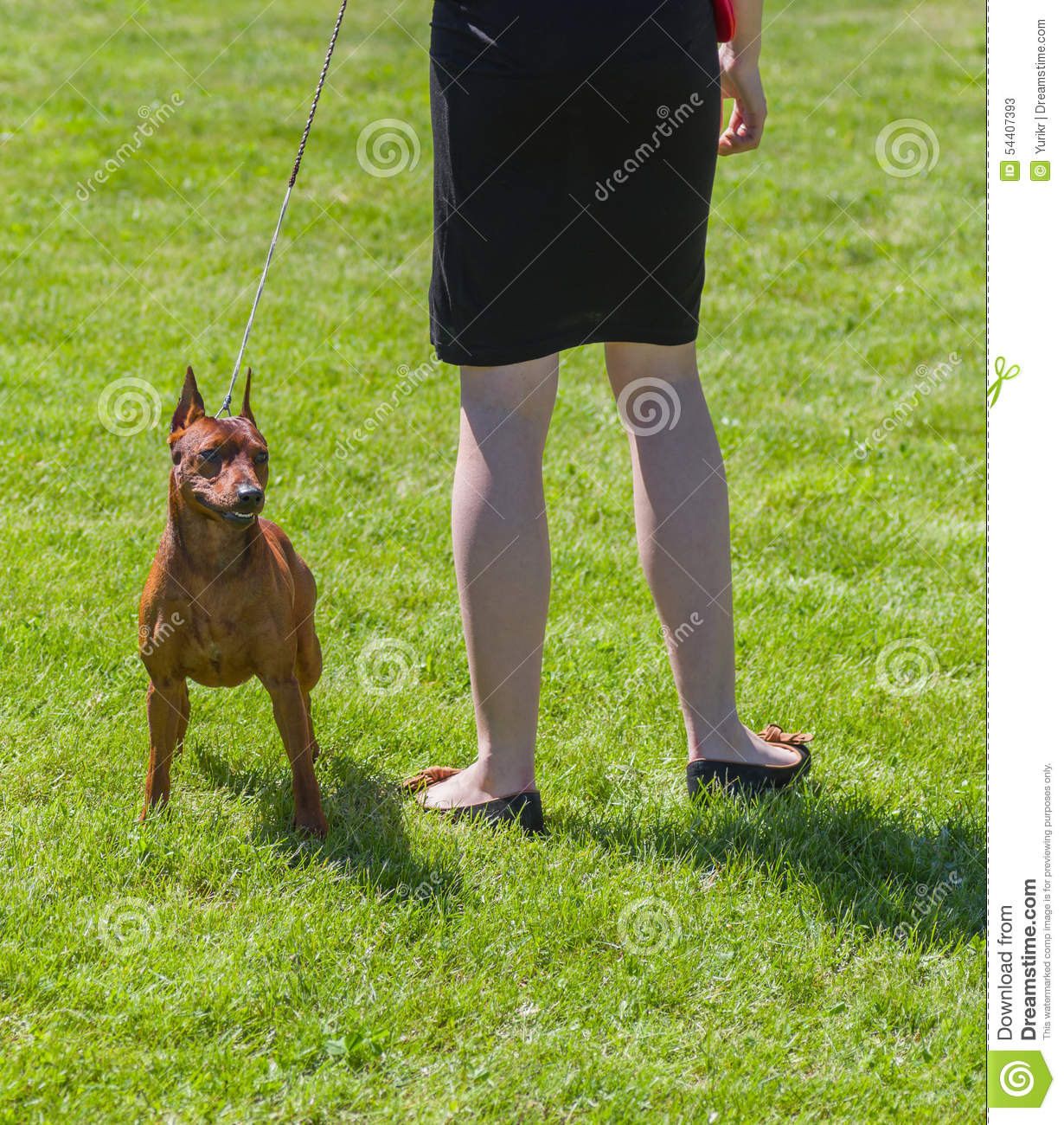 Pinscher Is Ready To Defend Master Stock Photo - Image: 54407393