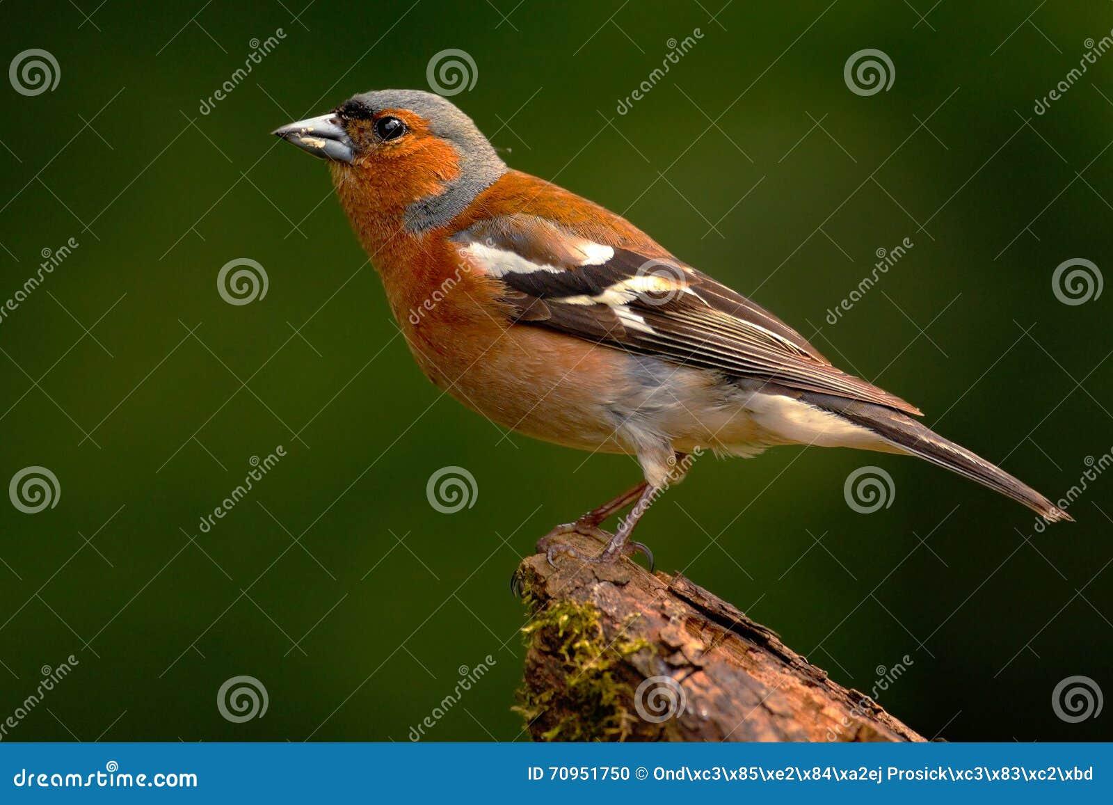 Pinson coelebs de fringilla oiseau chanteur orange se for Petit oiseau avec houpette