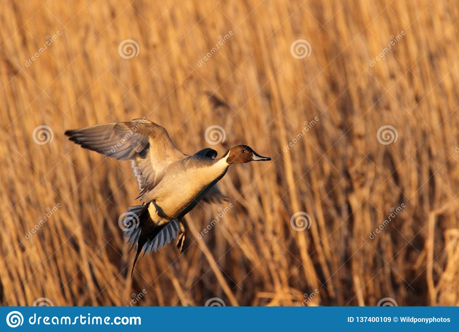 Pintail Drake Coming in for a Landing