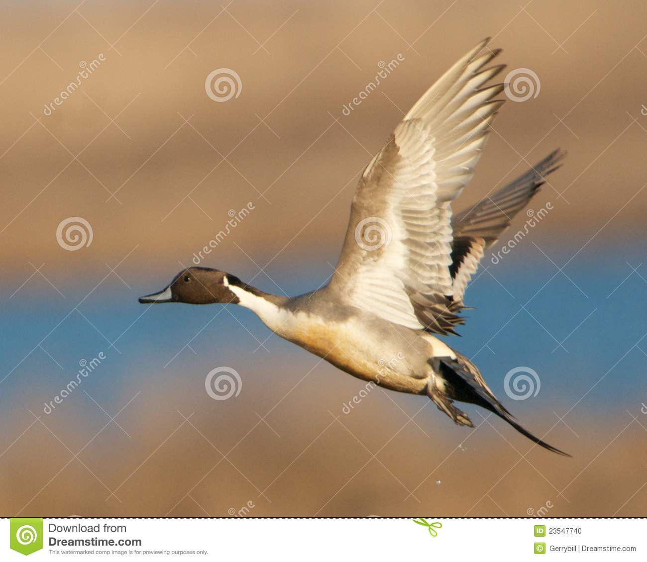 Pintail Duck In Flight Stock Photo - Image: 23547740