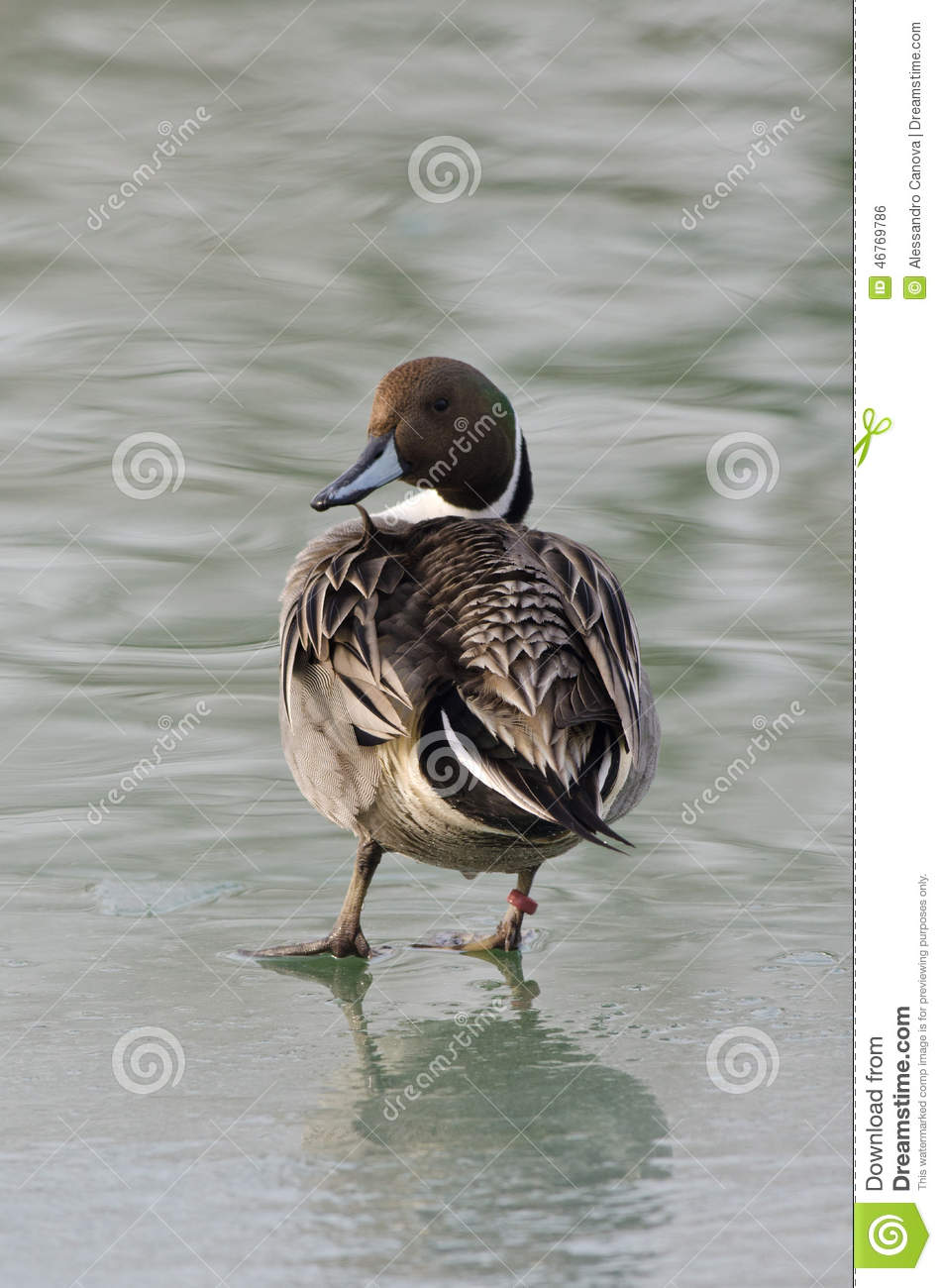 Pintail on the frozen lake Val Campotto Italy