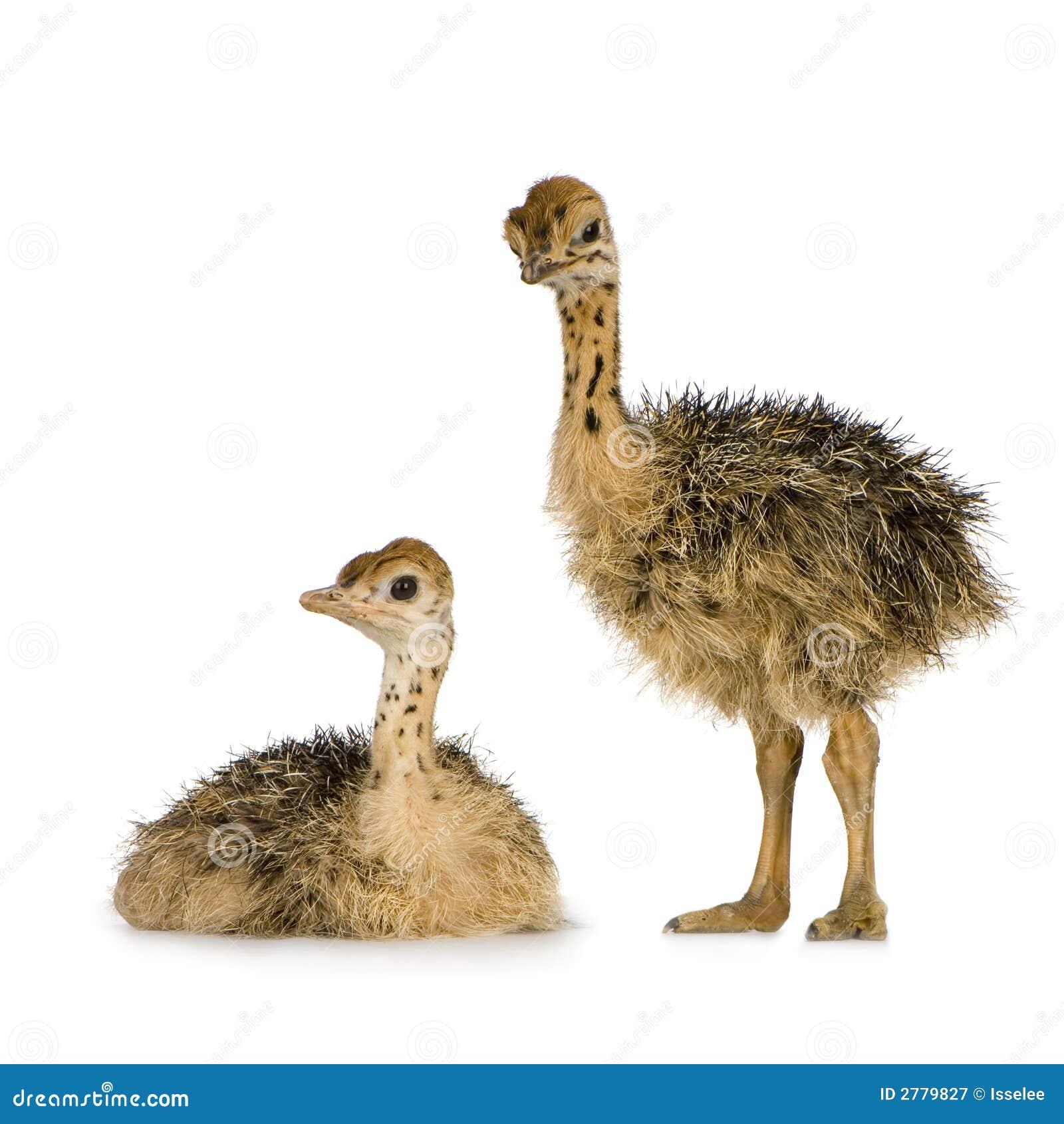 Pintainho da avestruz