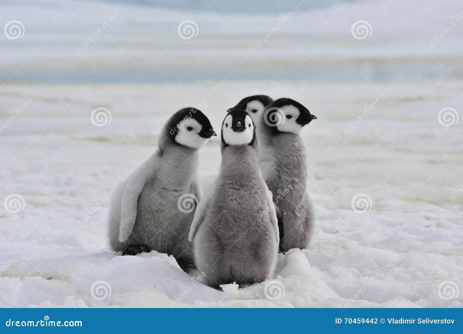 Pintainhos dos pinguins de imperador